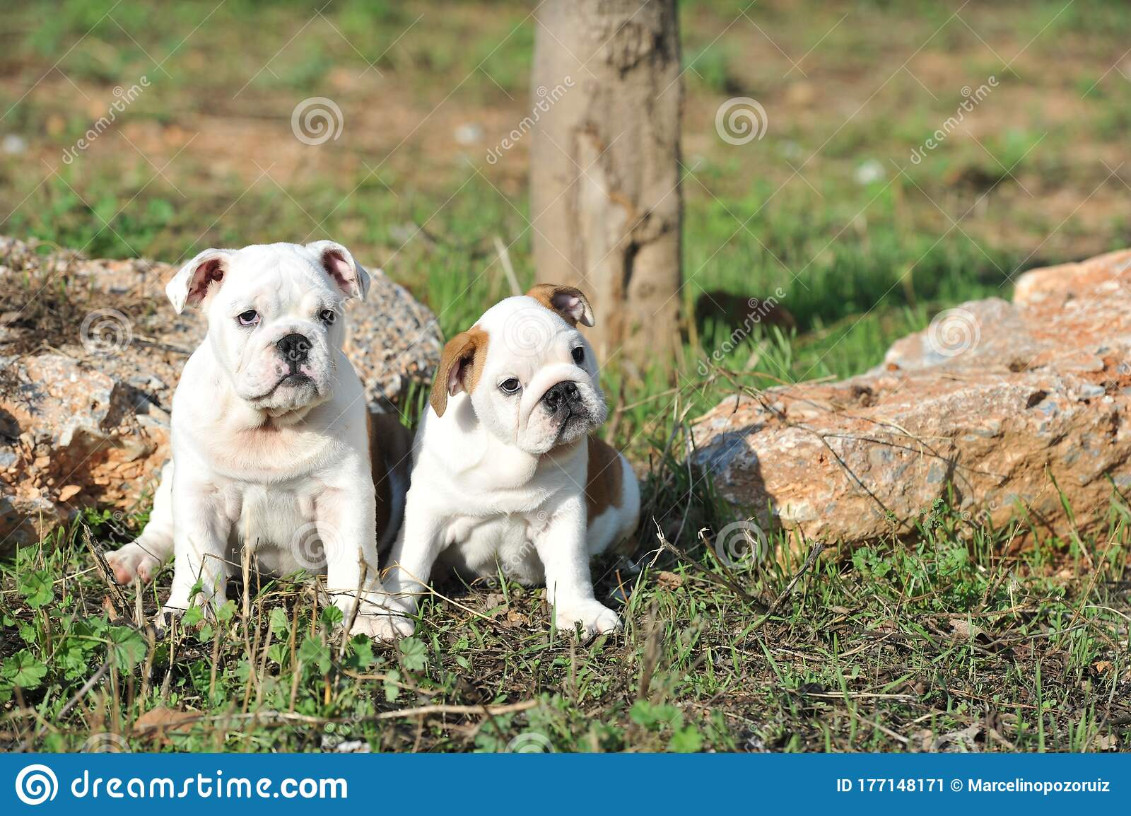 Cute Couple Of English Bulldog Puppies On The Grass In The Park Stock Image Image Of Park Looking 177148171