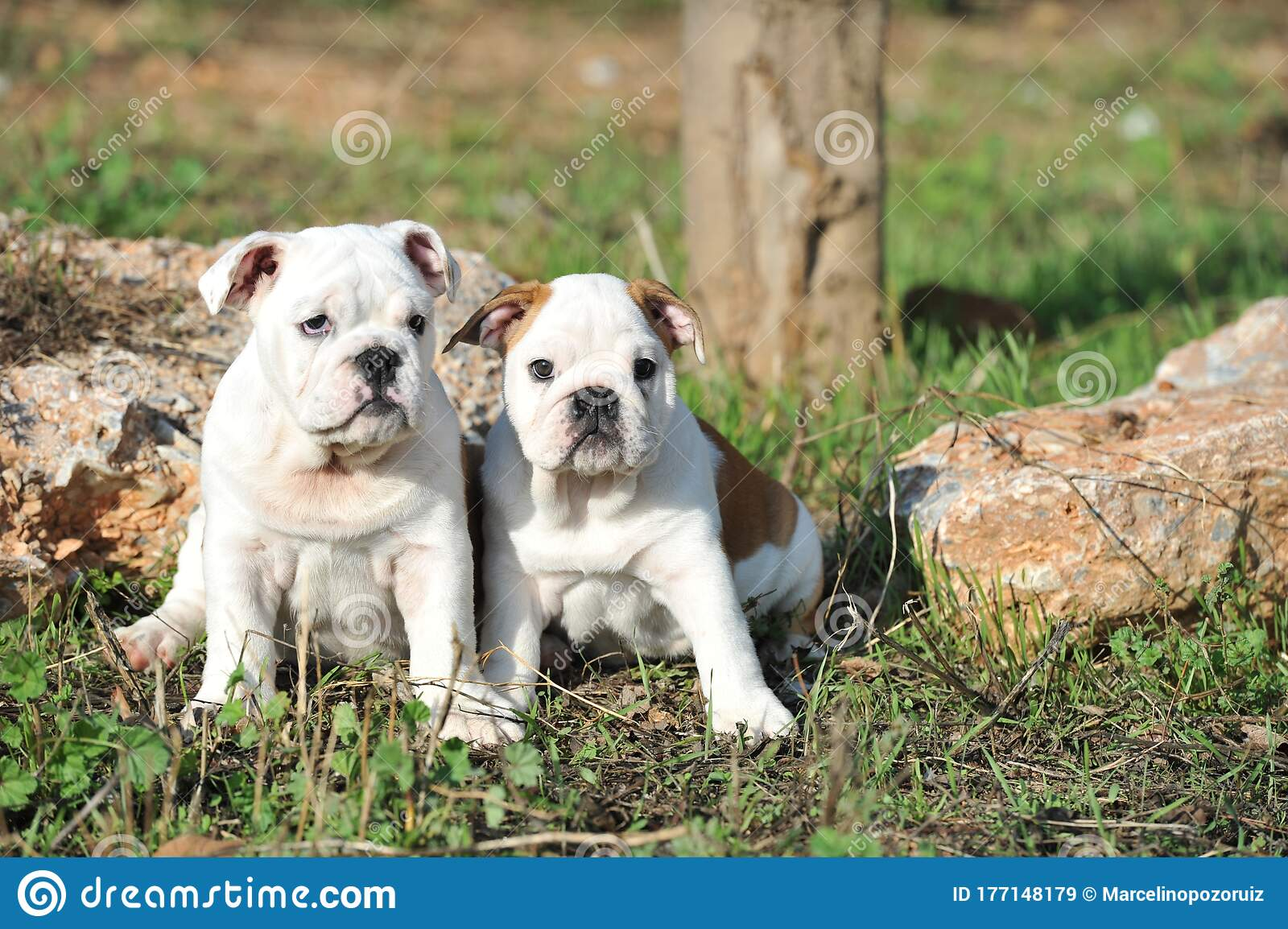 Cute Couple Of English Bulldog Puppies On The Grass In The Park Stock Image Image Of Breed Animal 177148179