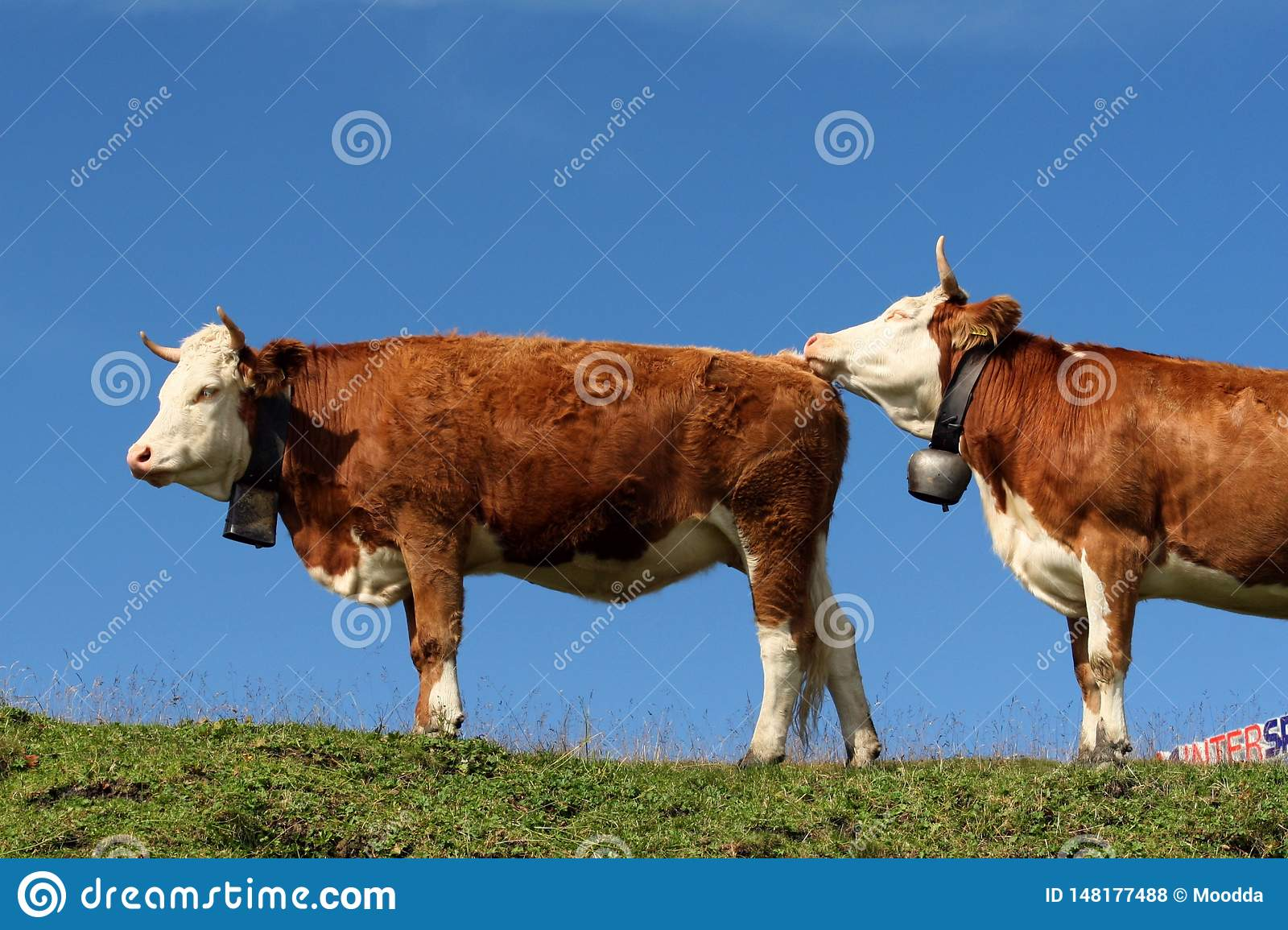 Cows in the Swiss Alps. The Swiss countryside