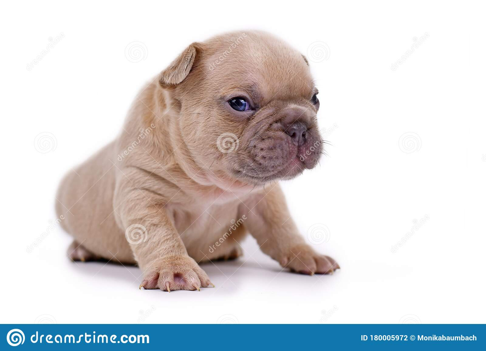 Cute Cream Lilac Fawn Colored 3 Weeks Old French Bulldog Dog Puppy With Blue Eyes Isolated On White Background Stock Photo Image Of Isolated Little 180005972