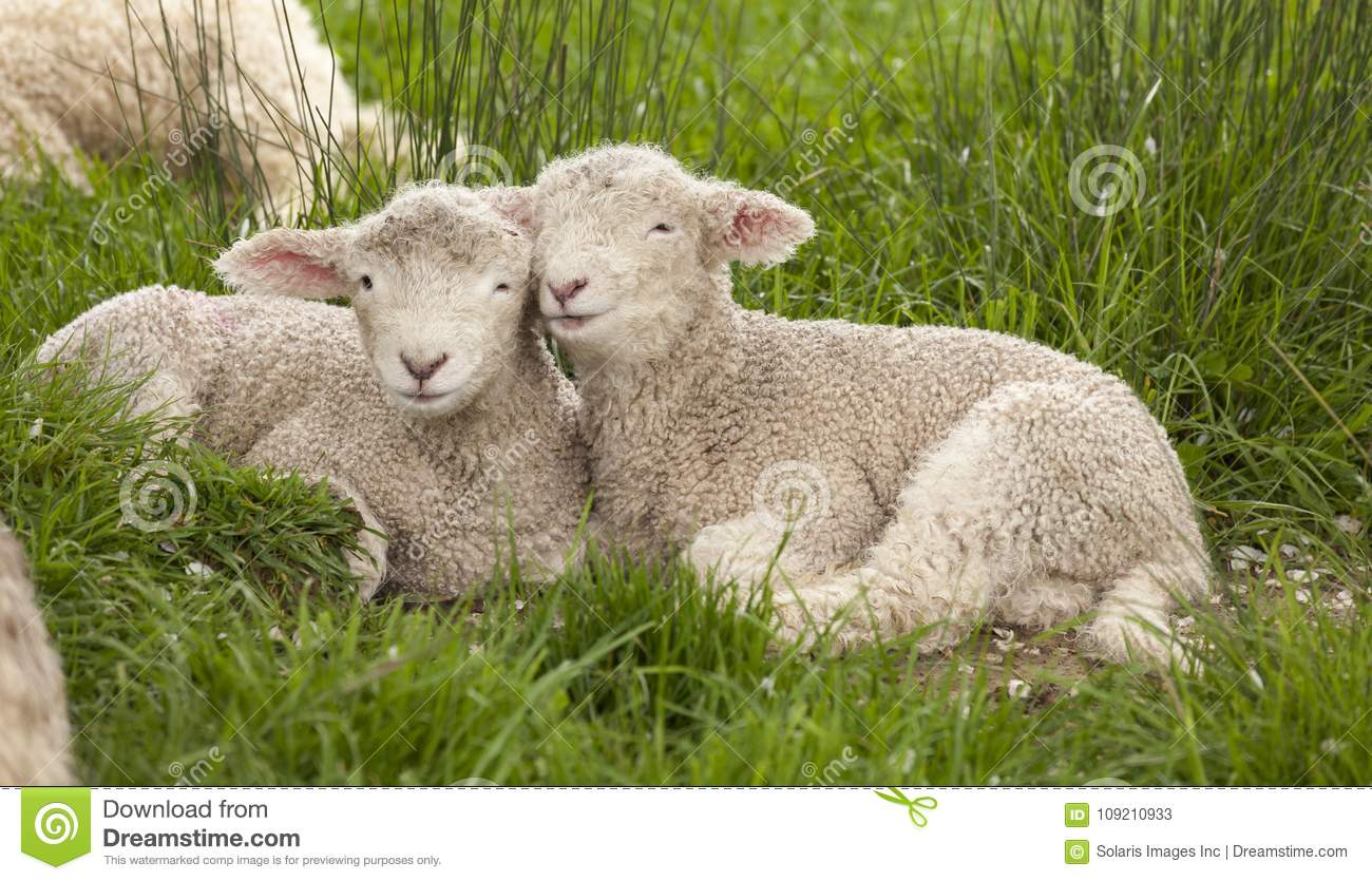 Cute cuddly fuzzy baby animals Spring lambs sheep siblings snuggling up together in green grass. They look like they are smiling.