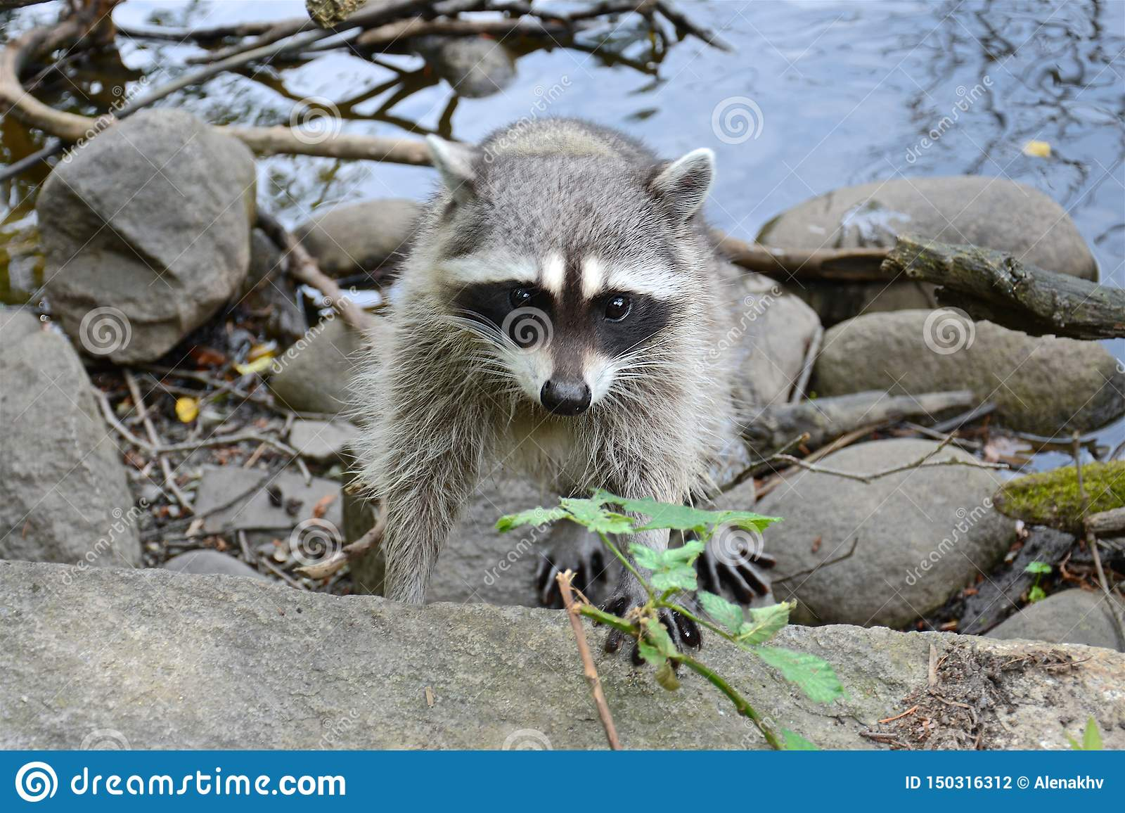 Cute curious adult fluffy raccoon on the shore of the pond