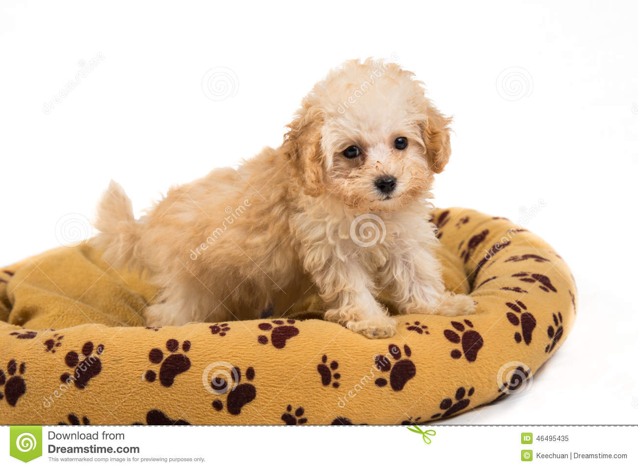 Cute and curious poodle puppy standing on her bed