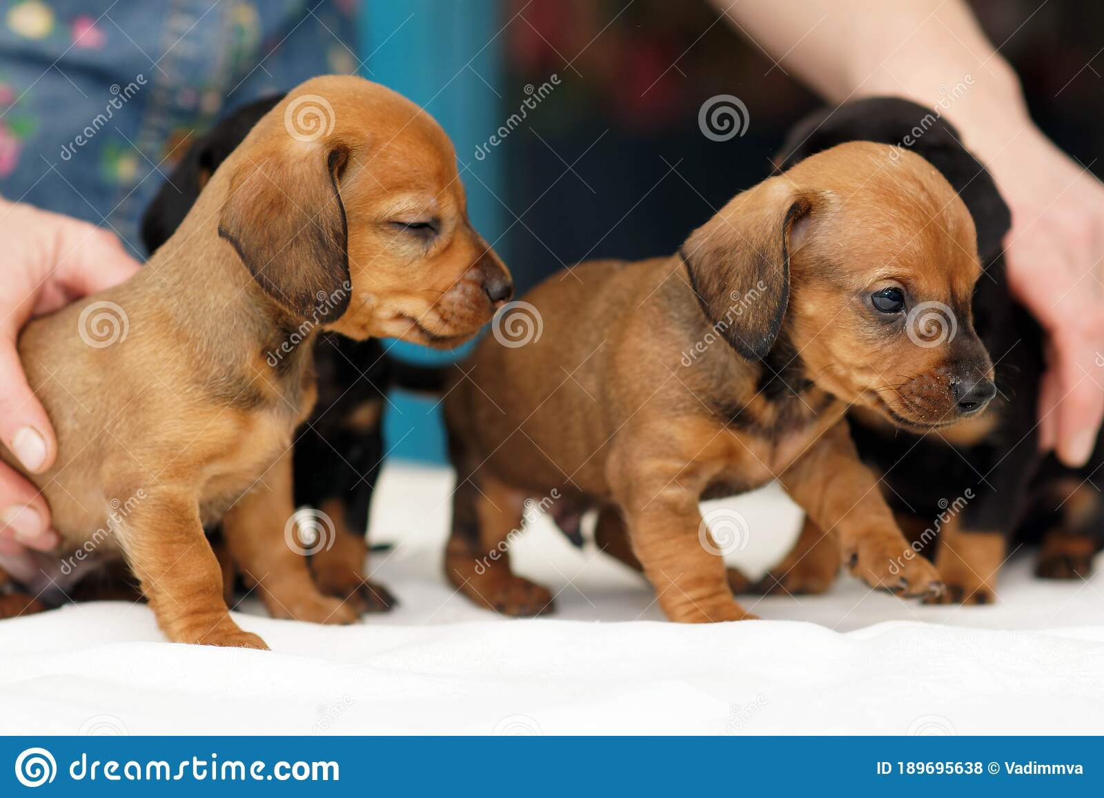 Cute Dachshund Puppies Stock Photo Image Of Dachshund 189695638