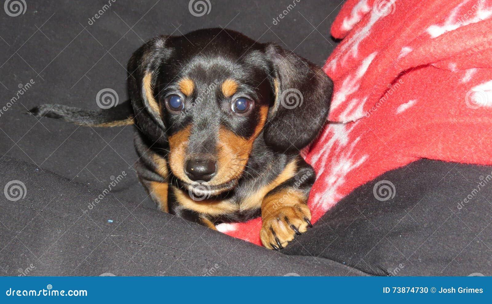 Cute Dachshund Puppy Stock Photo Image Of Dachshund 73874730
