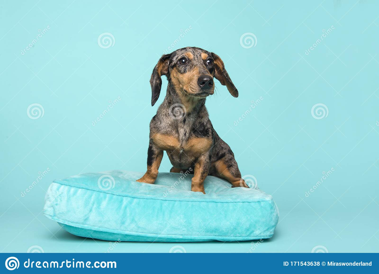 Cute Dachshund Puppy On A Blue Cushion On A Blue Background Stock Photo Image Of Shot Studio 171543638
