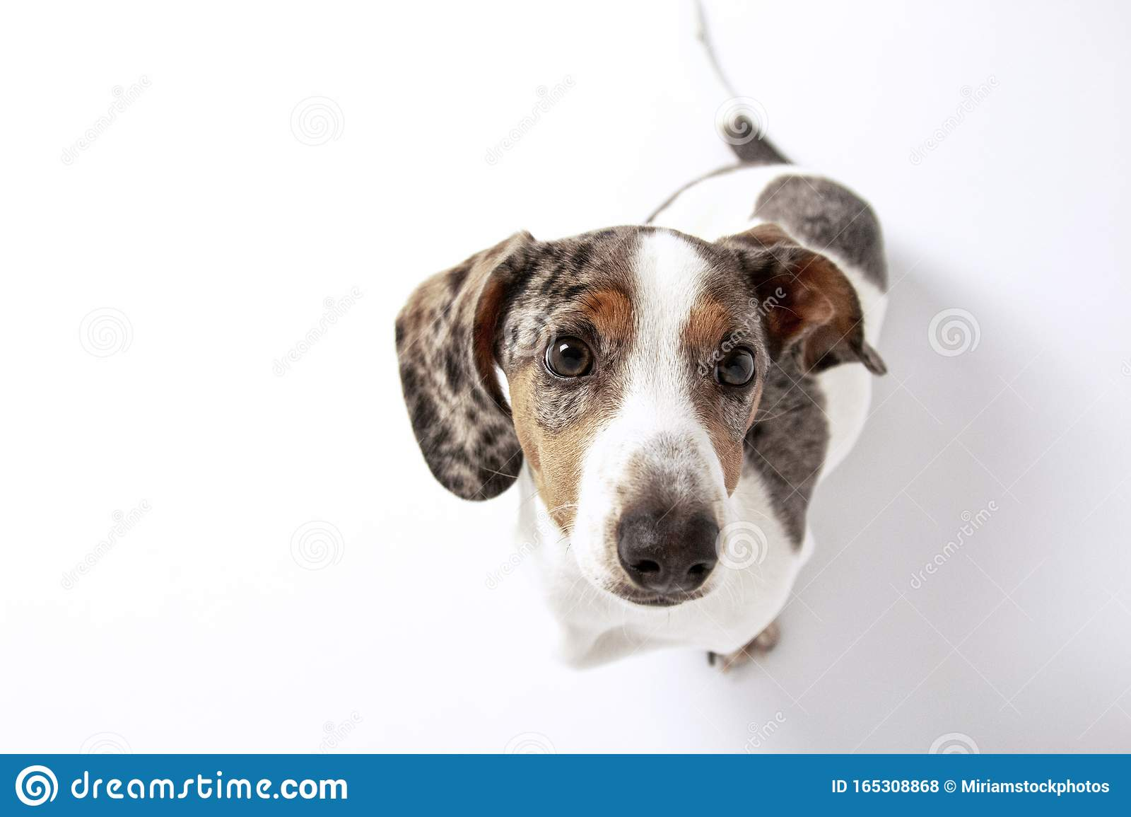 Cute Dachshund Puppy Dog With White And Spotted Fur Looking At The Camera On Plain White Background Stock Photo Image Of Smooth Spotted 165308868