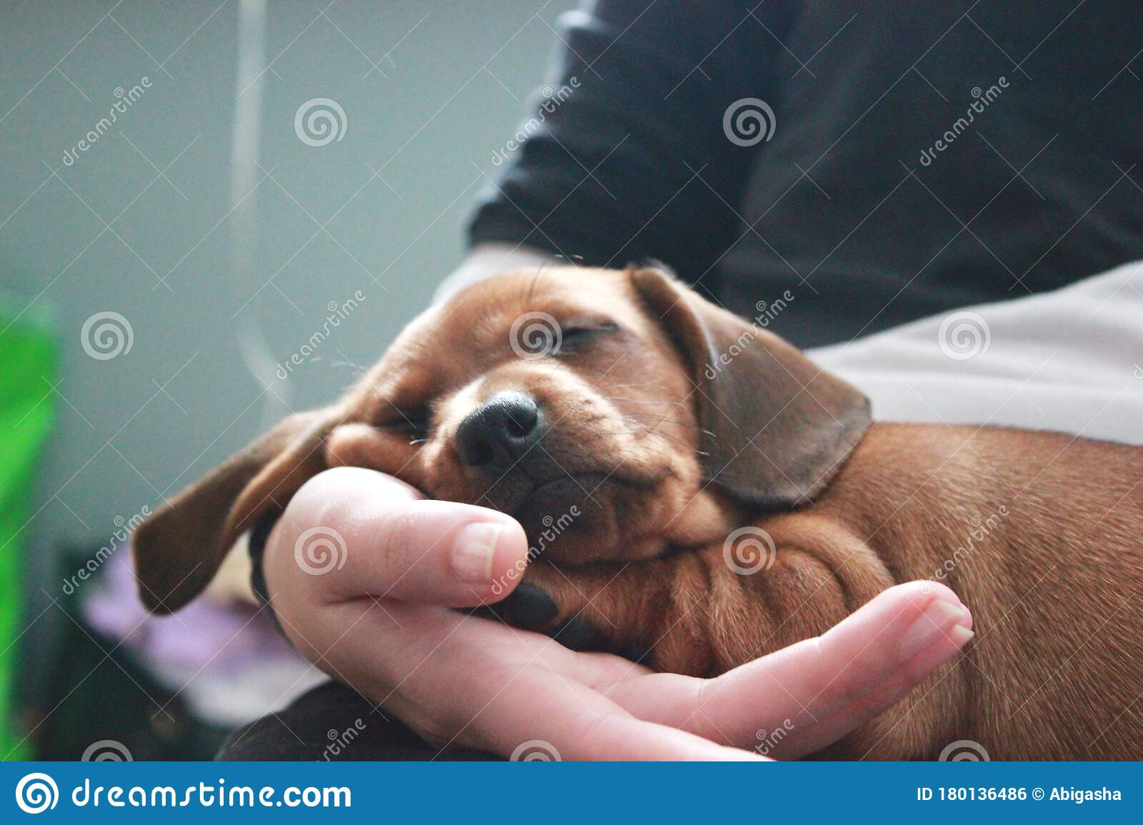 Cute Dachshund Puppy Sleeping On Human Knees Stock Photo Image Of Adorable Furniture 180136486