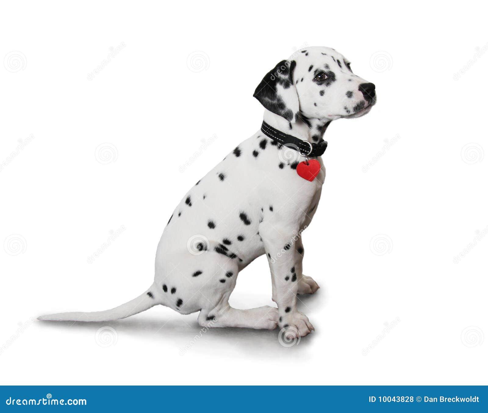 Cute Dalmatian puppy