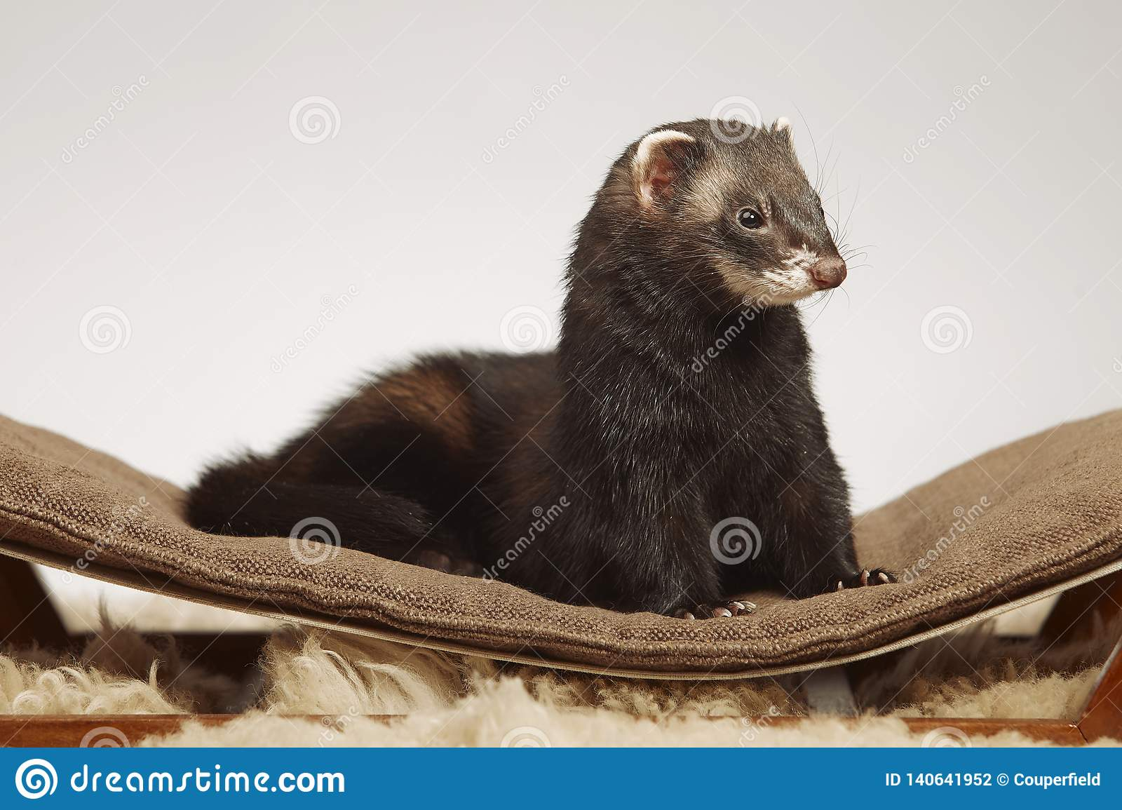 Dark sable color ferret male staying on sofa in studio