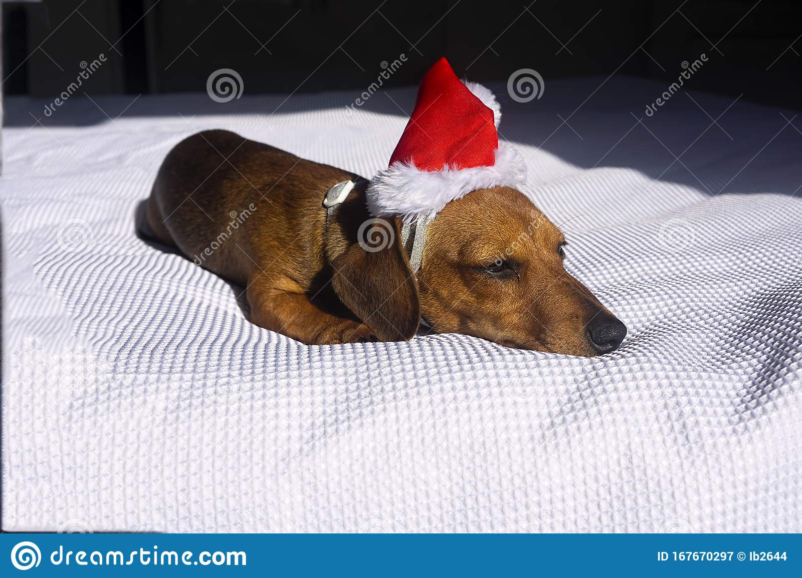 Cute Dachshund Puppy Snoozing On White Bed Stock Image Image Of Christmas Face 167670297