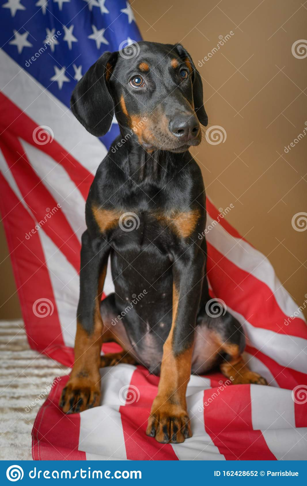 Cute Doberman Pinscher Puppy With American Flag Stock Photo Image Of Beautiful Military 162428652
