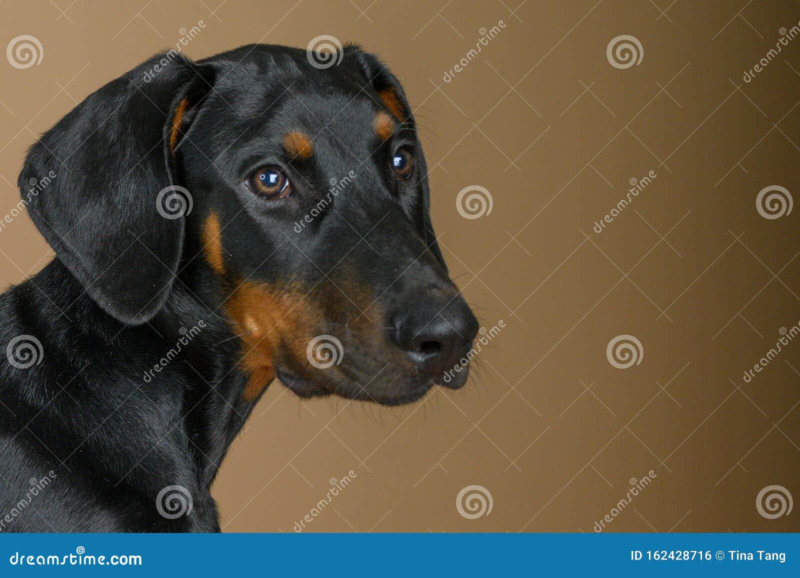Cute Doberman Pinscher Puppy Head Portrait Stock Photo Image Of Mans Puppy 162428716