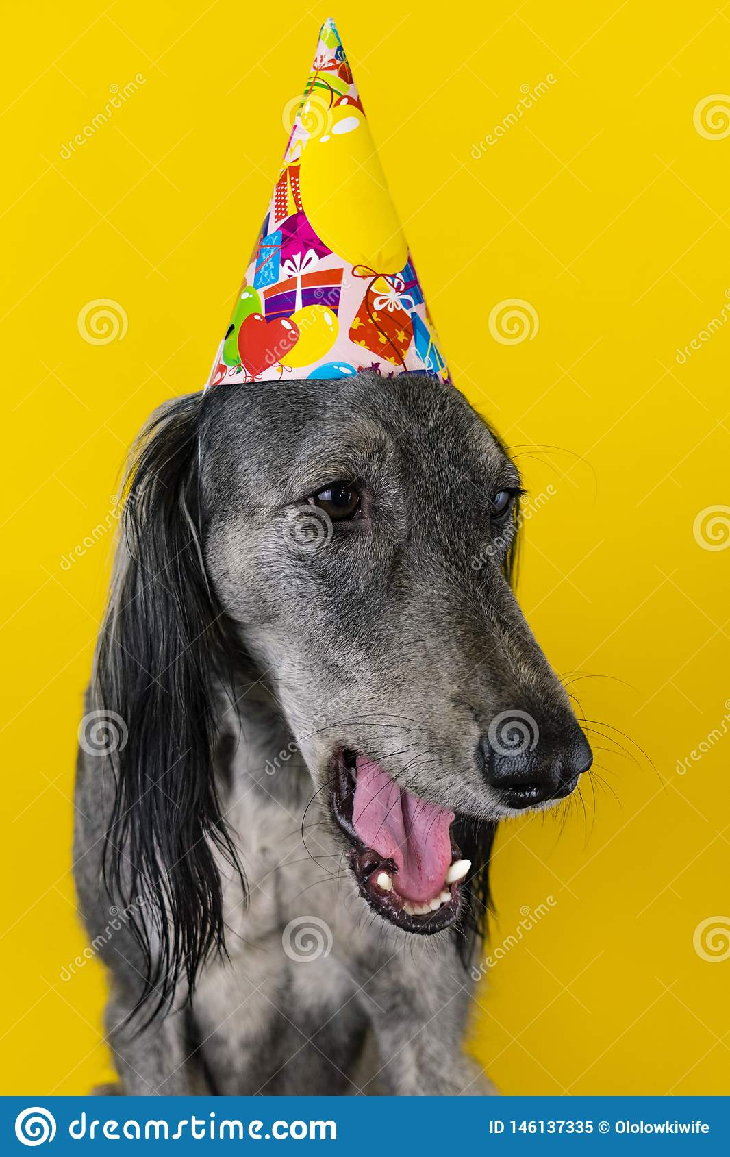 Cute dog with a birthday party hat on isolated on a yellow background. greyhound. hat with copyscpace. dog is boring