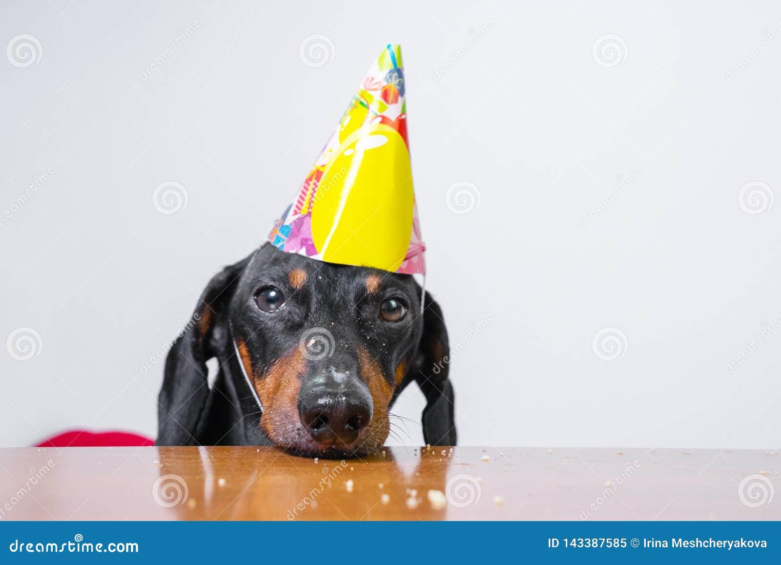 Groovy Cute Dog Breed Dachshund Black And Tan Eat Birthday Cake Wearing Funny Birthday Cards Online Unhofree Goldxyz