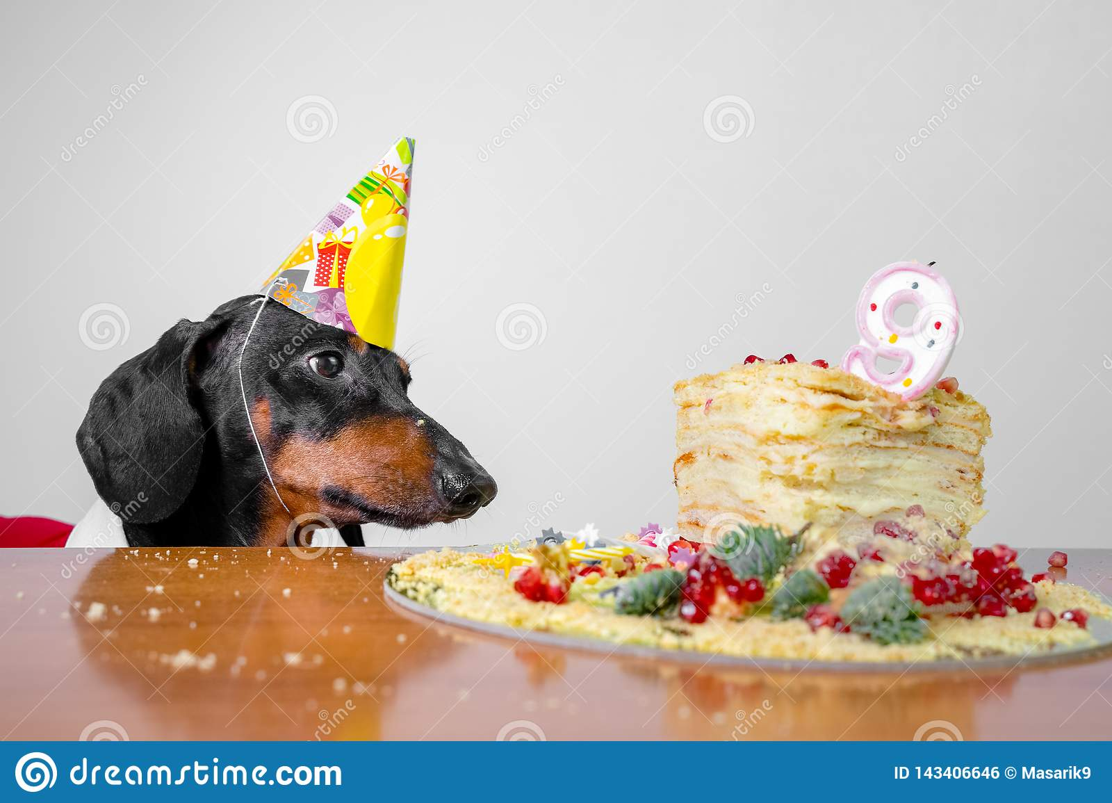 Cute Dog Breed Dachshund Black And Tan Hungry For A Happy Birthday Cake With Candles Number 9 Wearing Party Hat On White