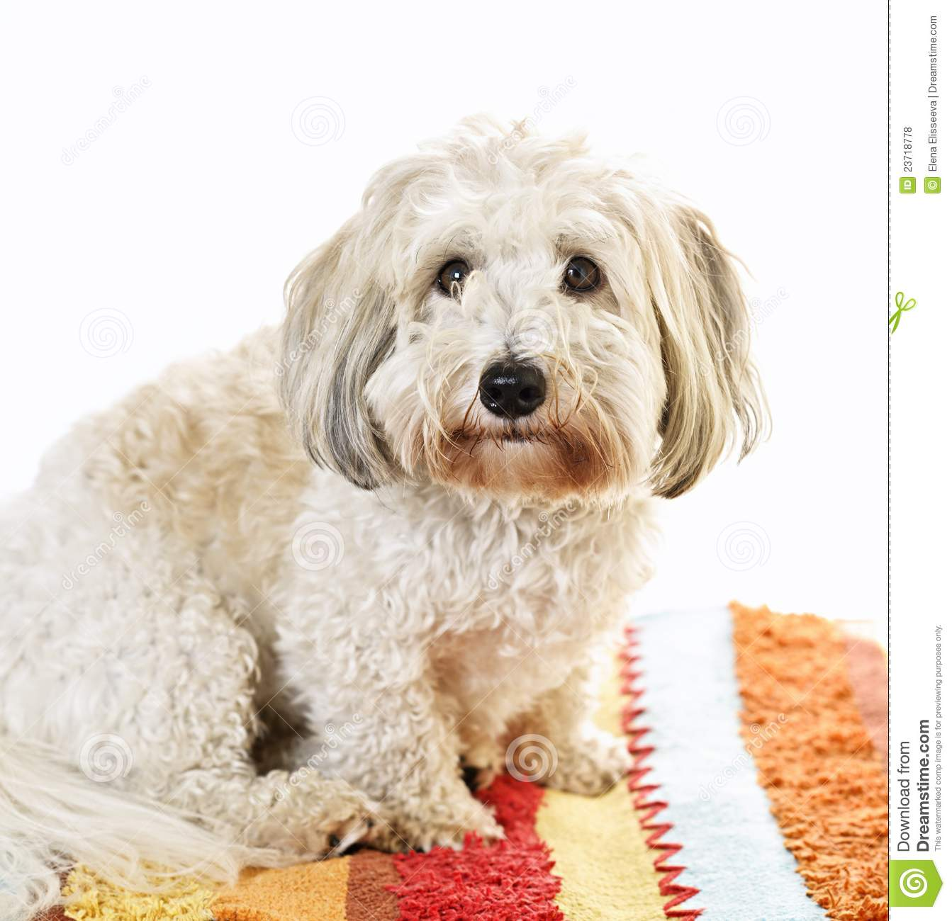 Dog Ate Some Rug: Cute Dog On Carpet Royalty Free Stock Photos