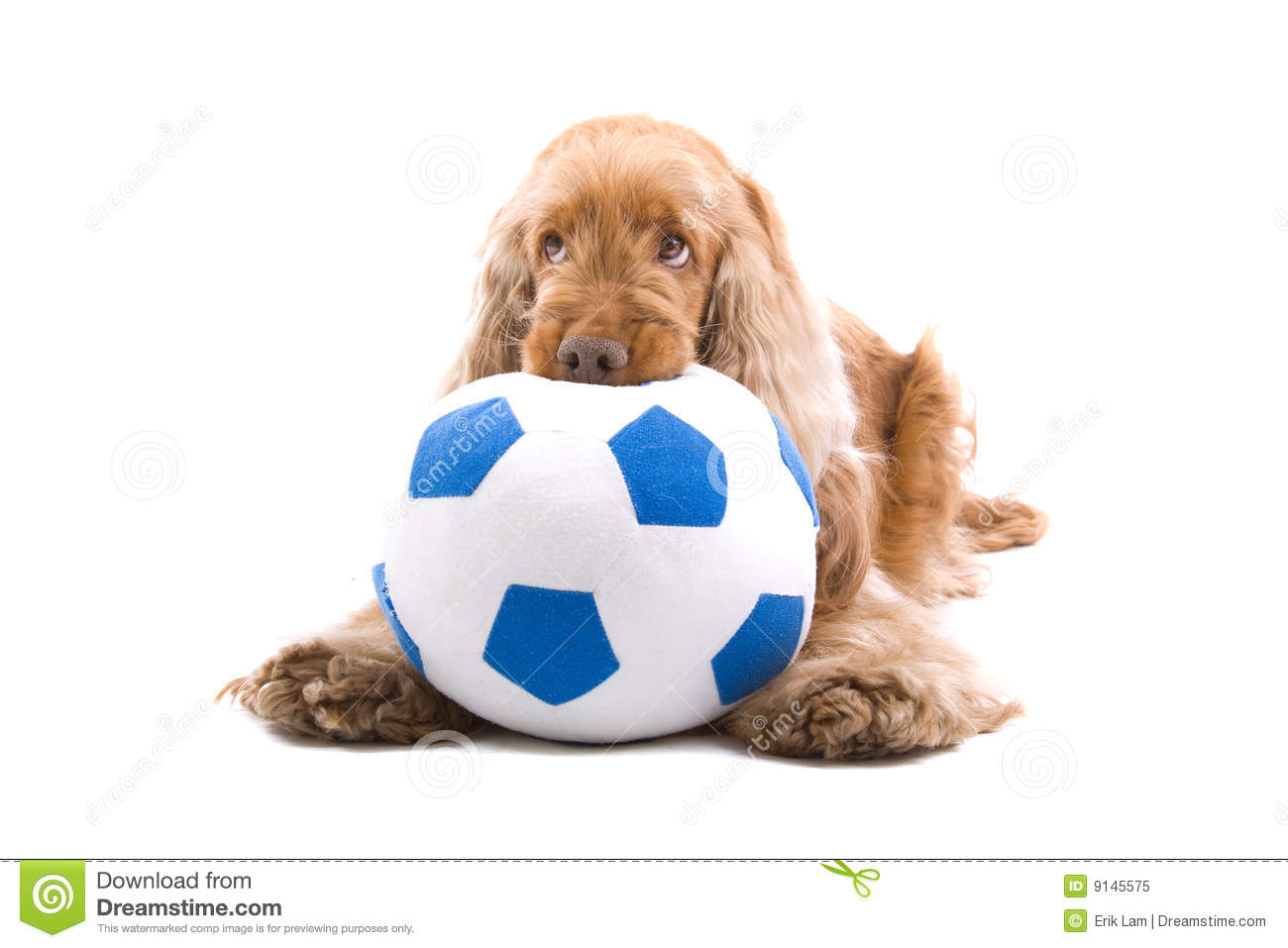 Cute dog chewing soccer ball
