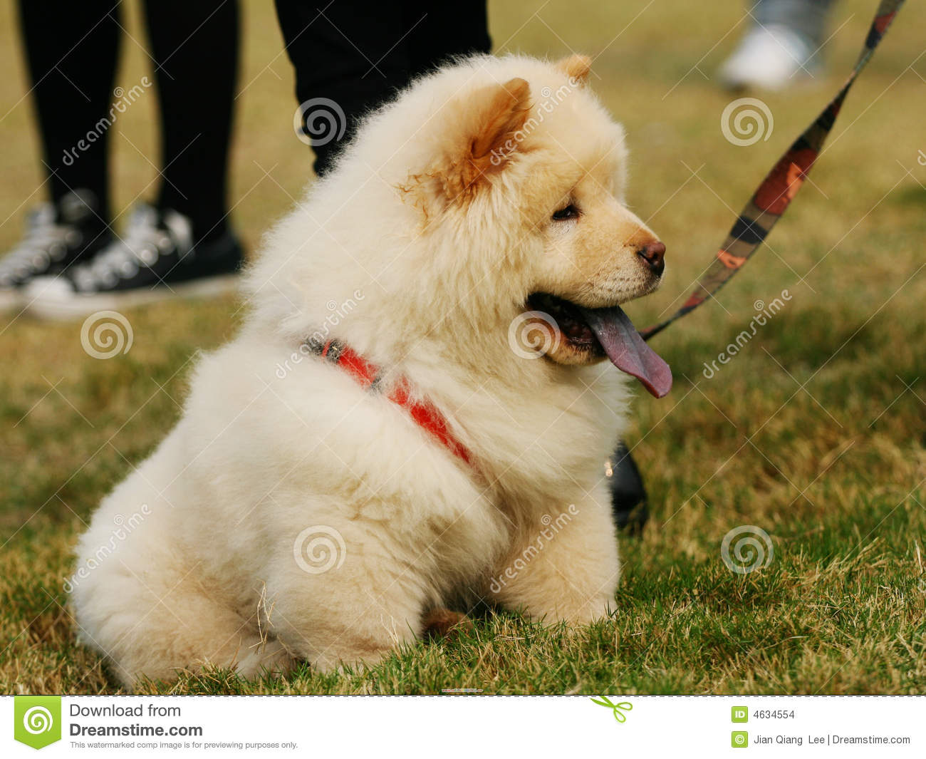 Download Chow Chow Chubby Adorable Dog - cute-dog-chow-4634554  Snapshot_148047  .jpg