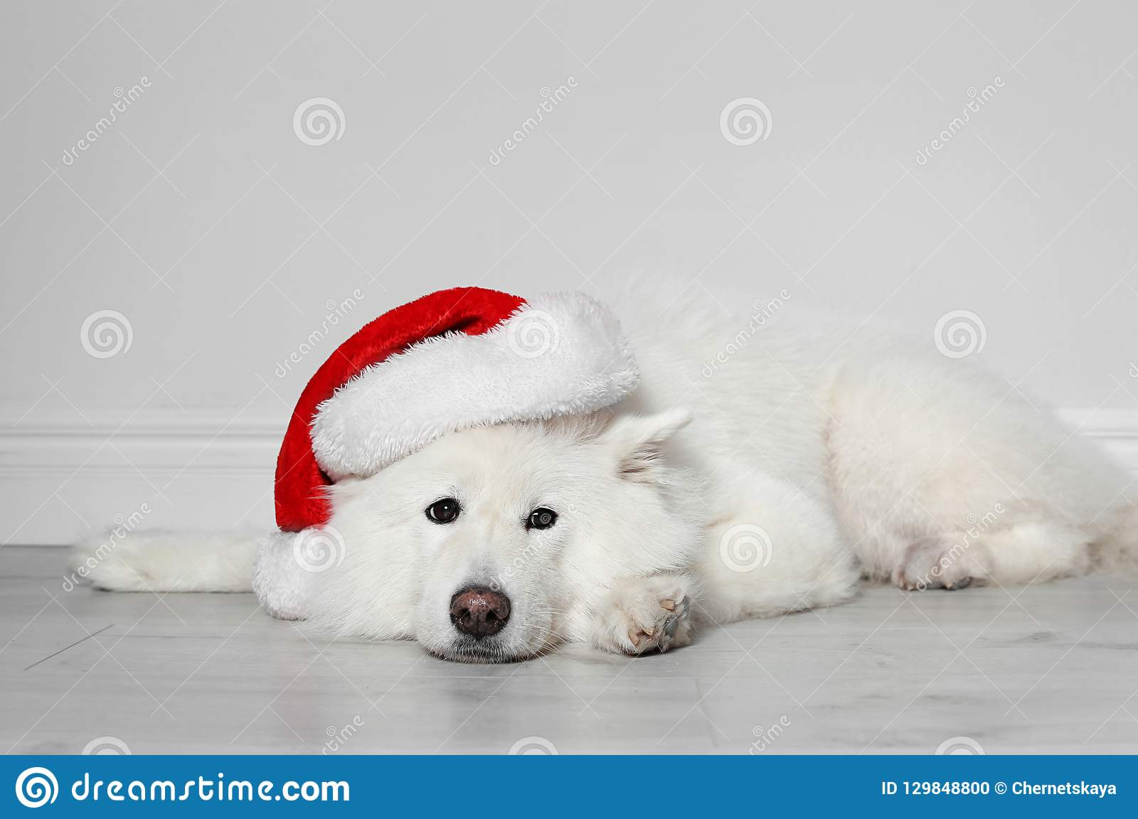 Cute Dog With Christmas Hat On Floor Stock Photo Image Of Santa