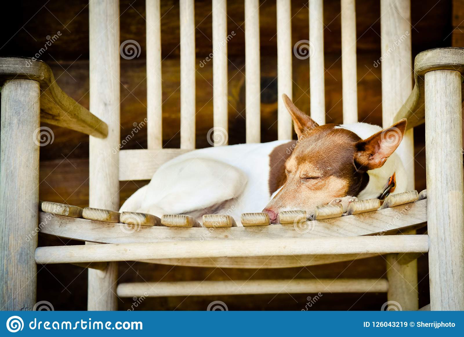 Excellent Cute Dog Curled Up In A Rocking Chair Stock Image Image Of Squirreltailoven Fun Painted Chair Ideas Images Squirreltailovenorg