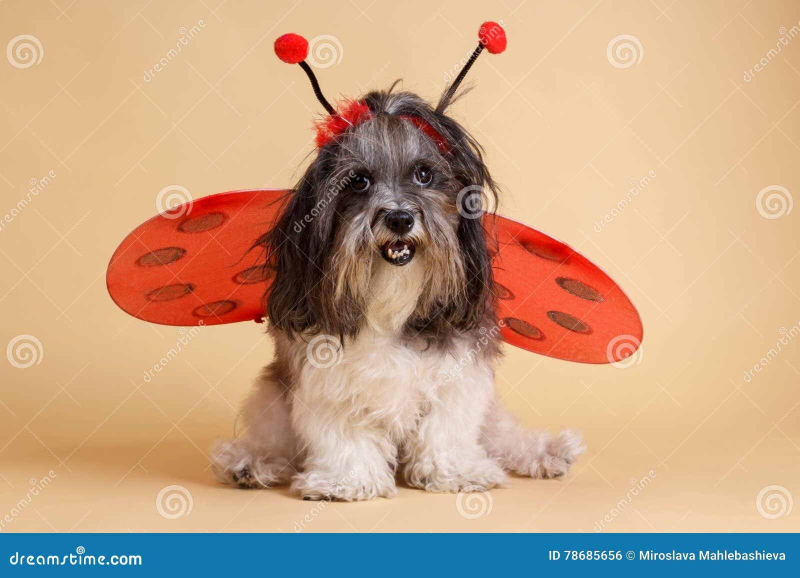 Cute Dog Dressed Up For Halloween Like A Ladybug Stock Photo Image