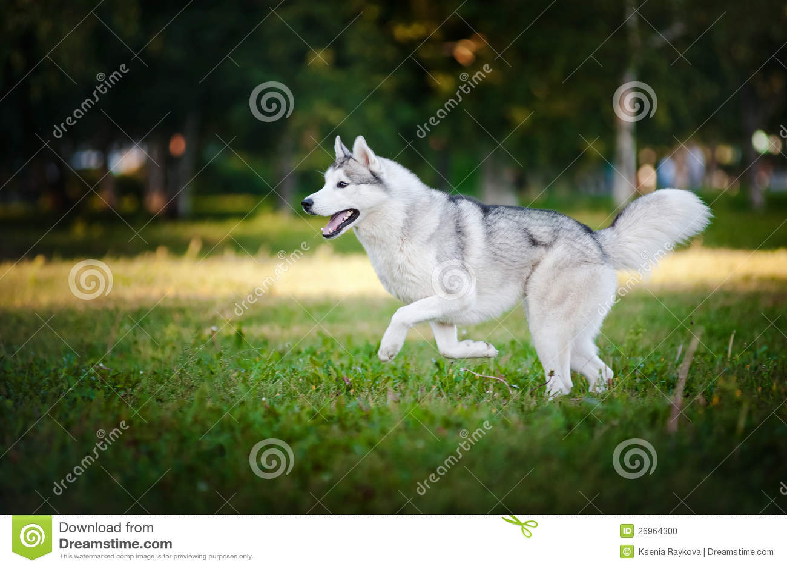 Cute Dog Husky Running On The Grass Stock Photo Image Of Animals
