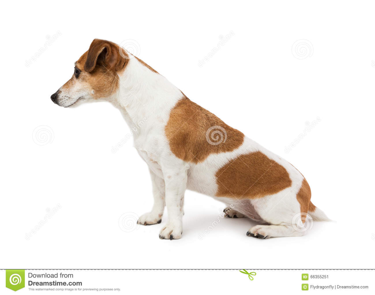 cute dog jack russell terrier sitting sideways in profile stock image image of animal brown. Black Bedroom Furniture Sets. Home Design Ideas