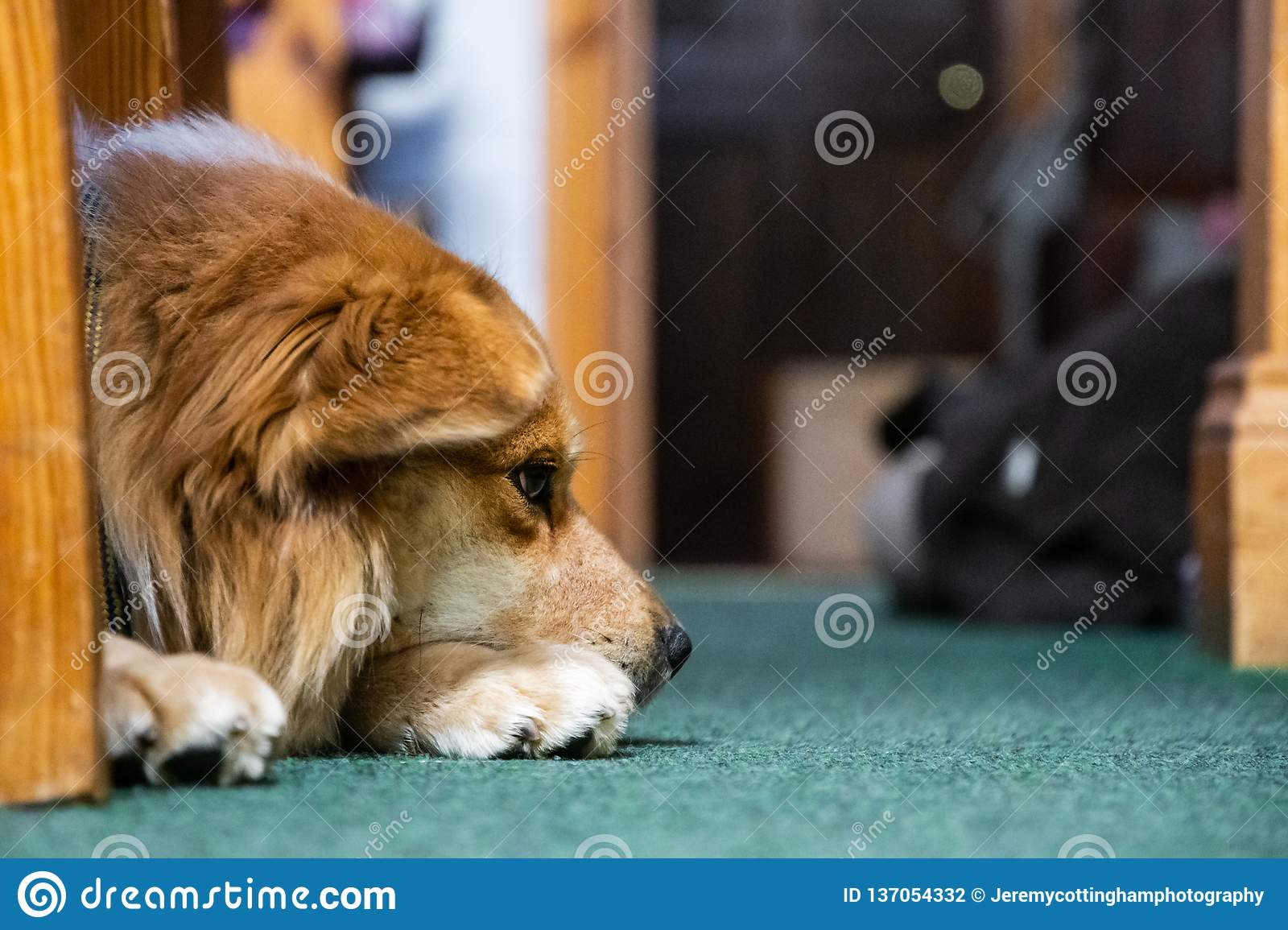 A cute dog lying down with head on paws. Golden brown throwback Pomeranian dog.