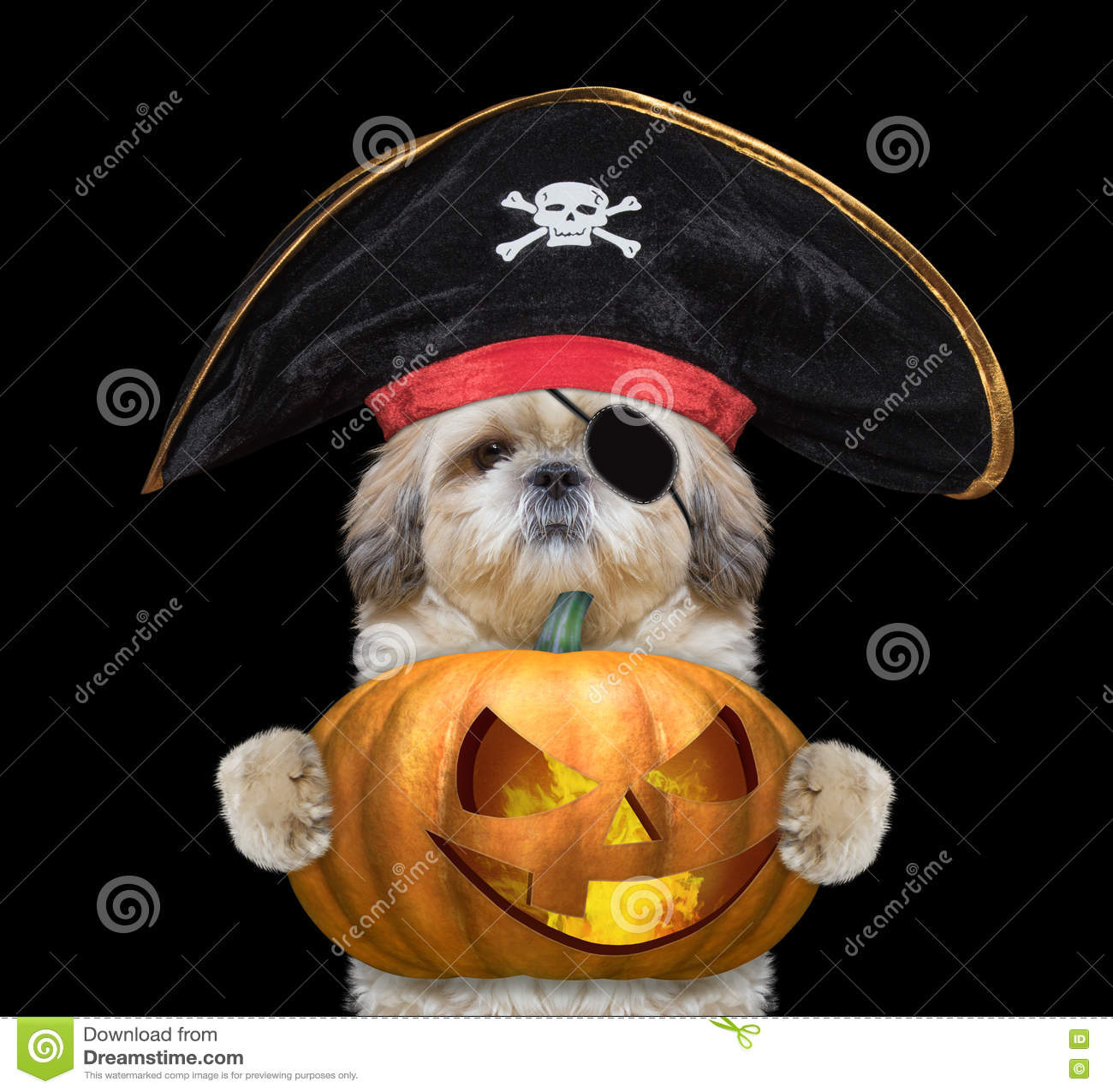 Cute dog in a pirate costume with halloweens pumpkin
