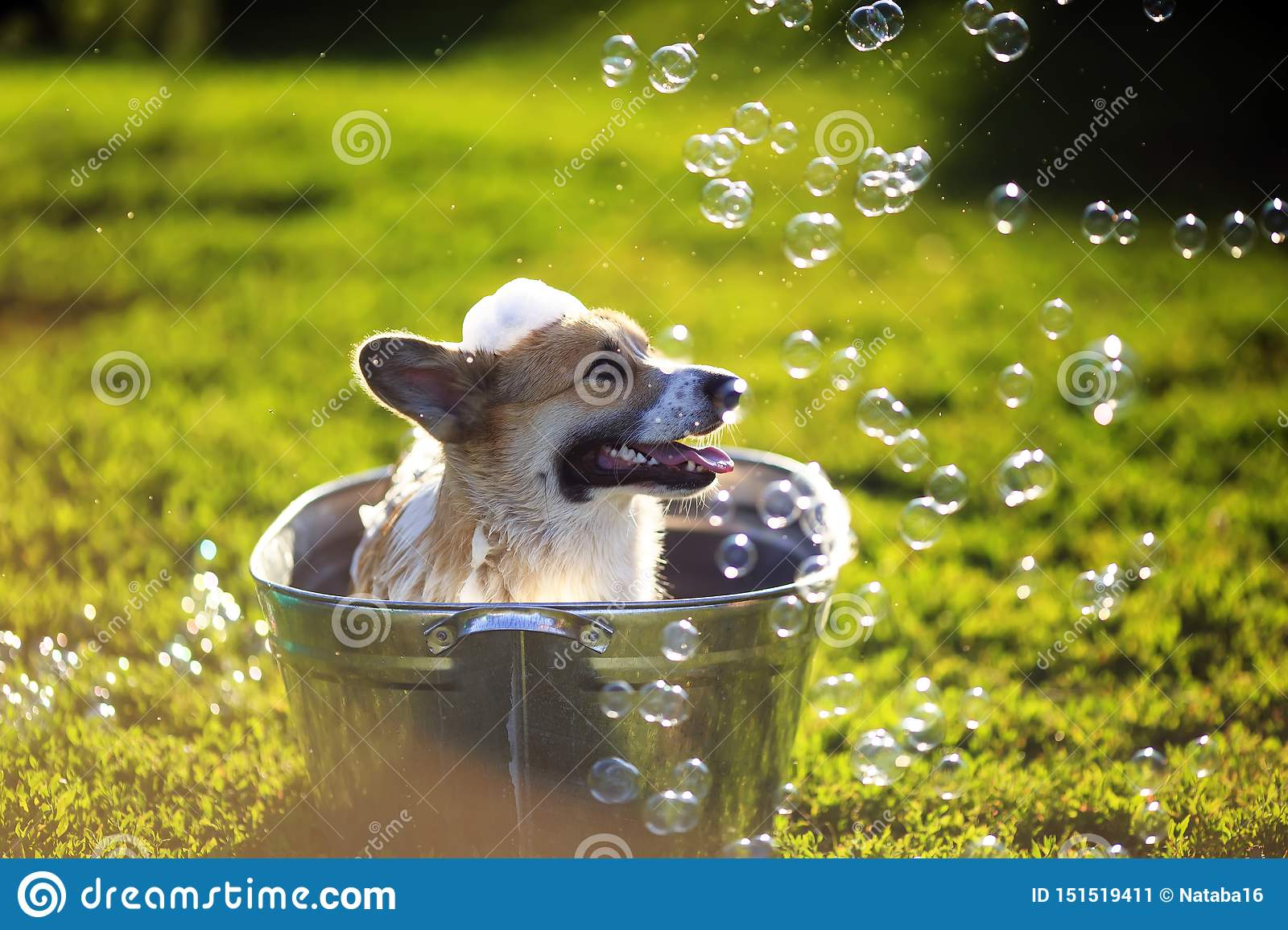 Cute Funny Dog Puppy Corgi Washes In A Metal Bath And Cools Outside In Summer On A Sunny Hot Day In Shiny Foam Bubbles Stock Image Image Of Ears Green 151519411