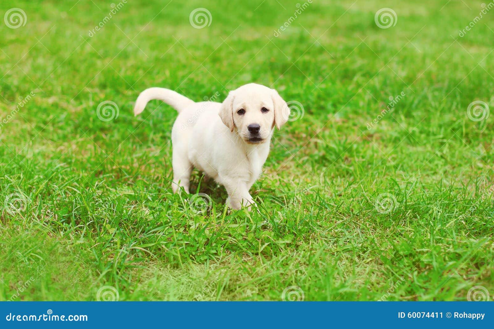 Cute Dog Puppy Labrador Retriever Running Stock Image Image Of Doggy Field 60074411