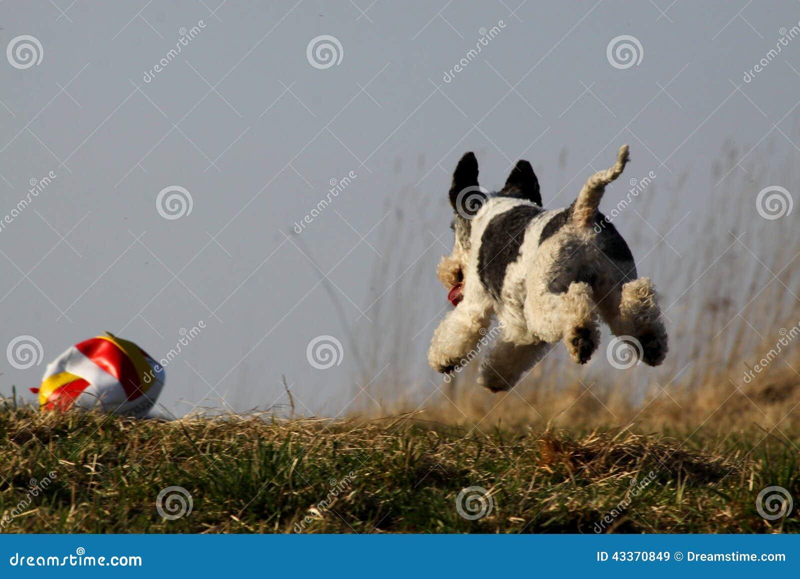 Cute Dog Running Stock Image Image Of Running Ball 43370849