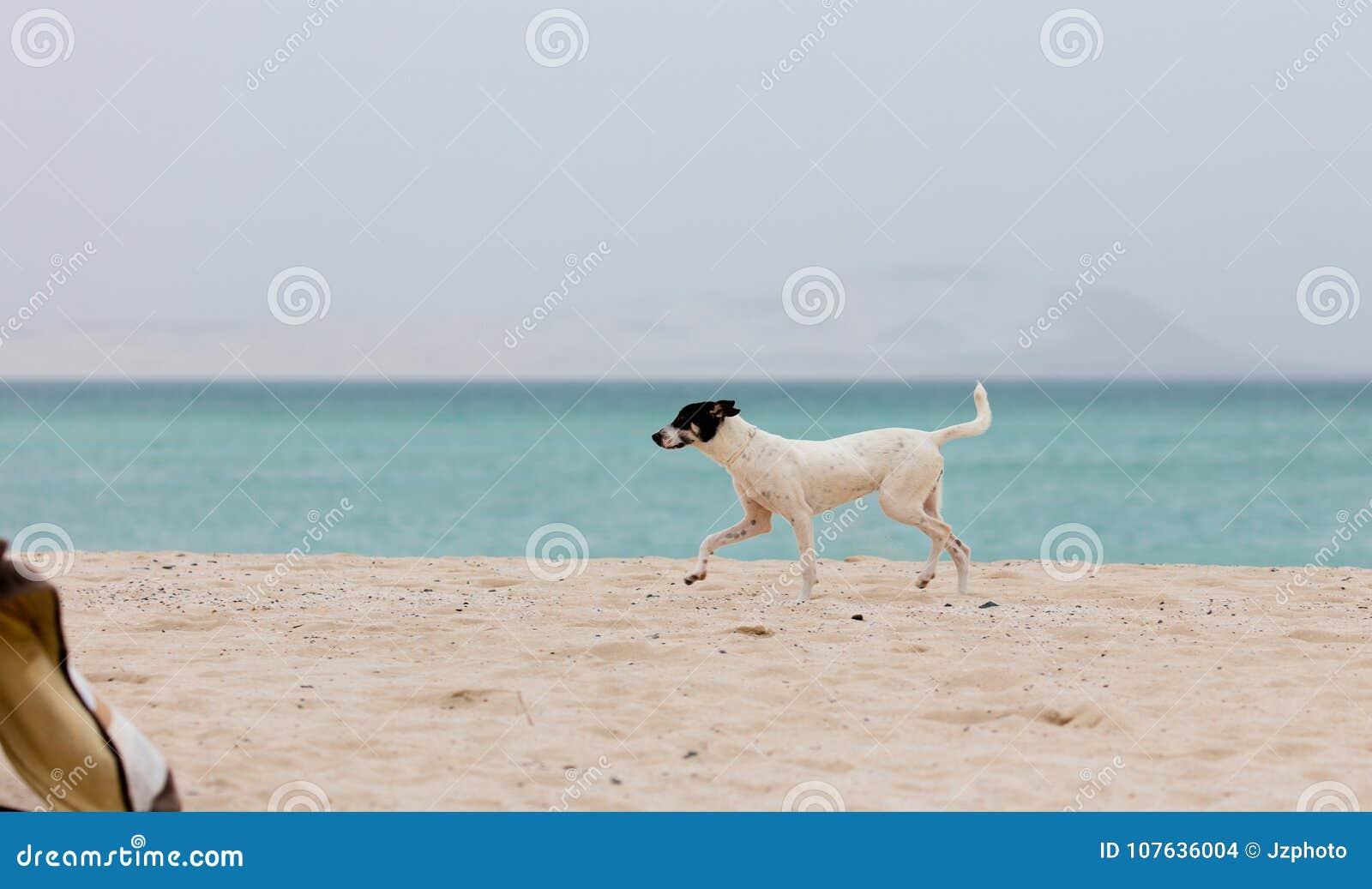 Cute Dog Running On A Beach Stock Photo Image Of Shore Heat