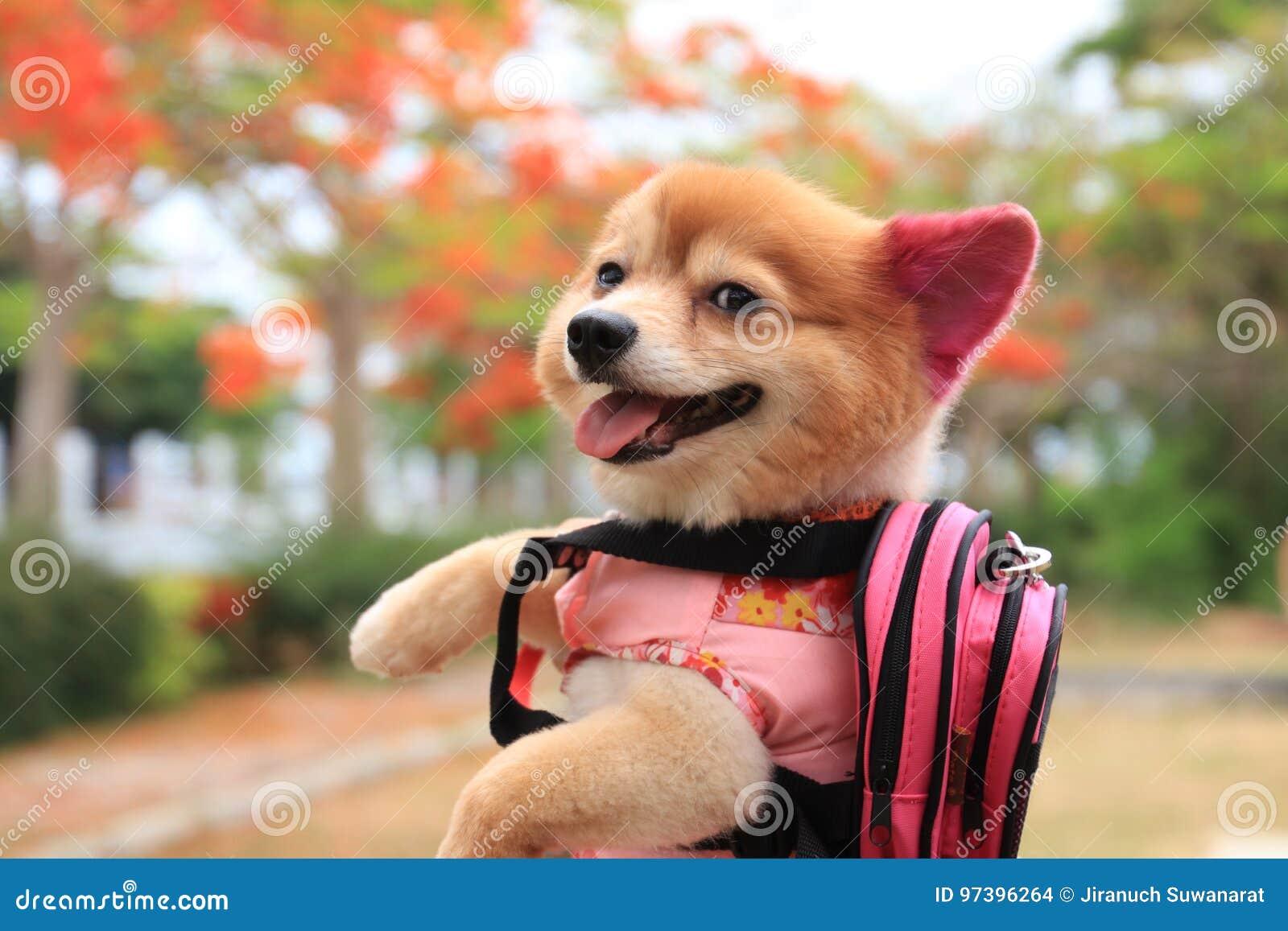 Cute Dog Wearing A Shirt Stock Photo Image Of Portrait 97396264