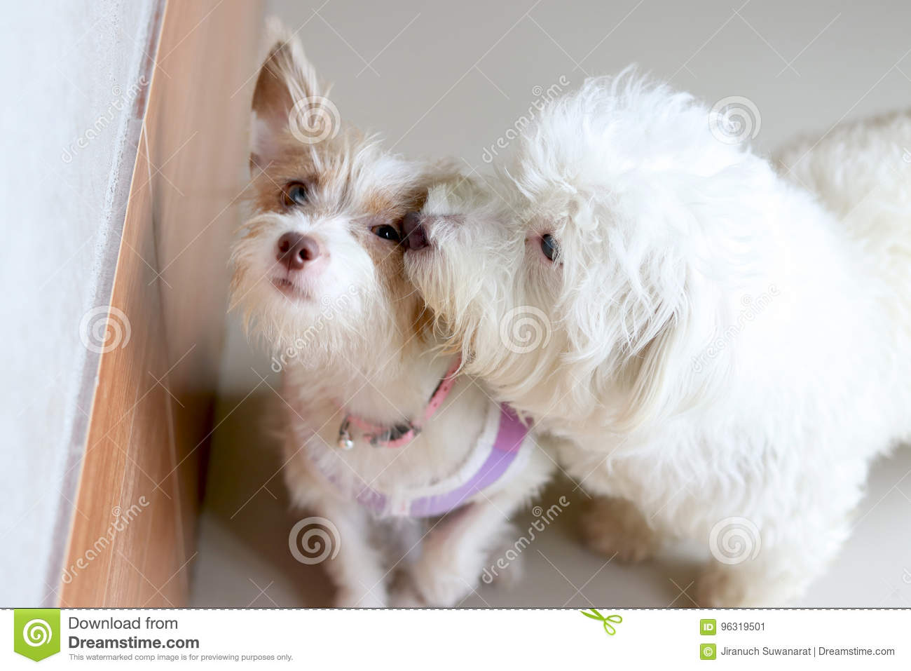 Cute Dog Wearing A Shirt Is Kissing Stock Image Image Of Color
