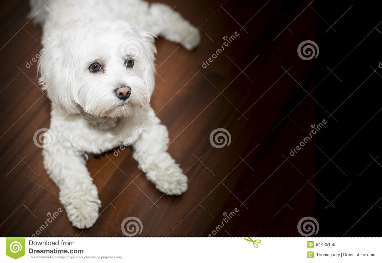Cute Dog Stock Photo Image Of Adorable Christmas Looking 64435150