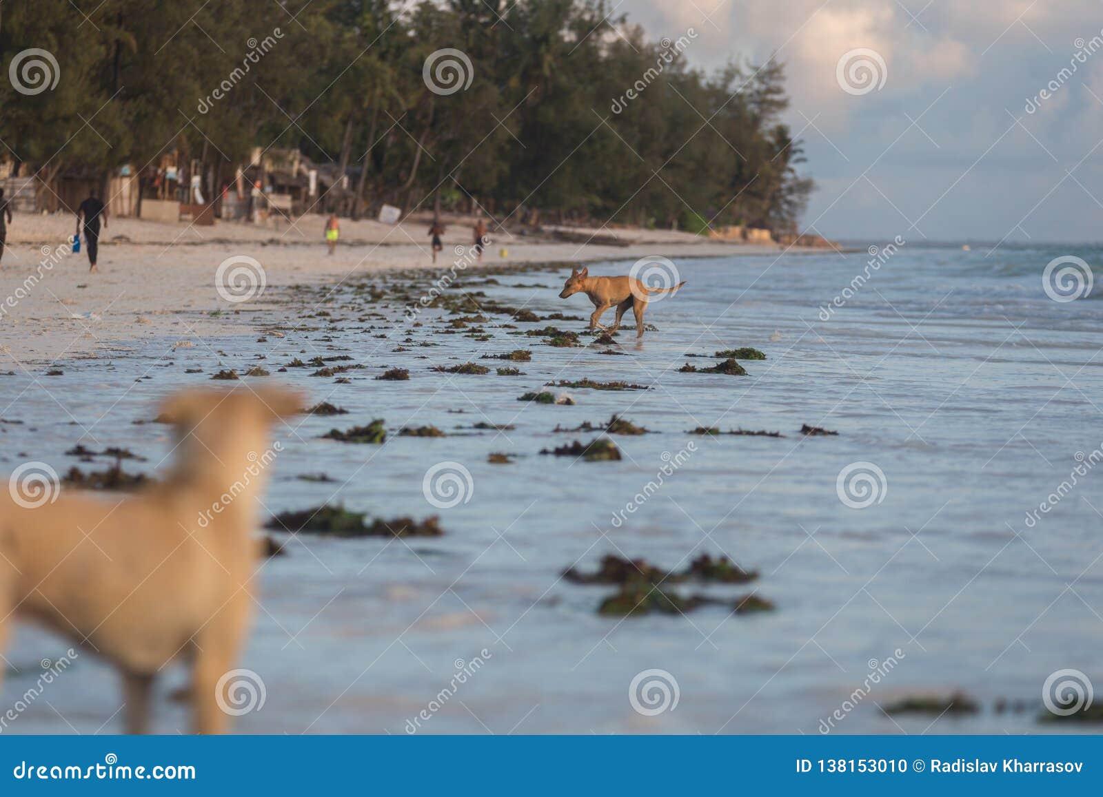 Cute dogs running on the coast. Animals of Tanzania. Pets in Zanzibar.