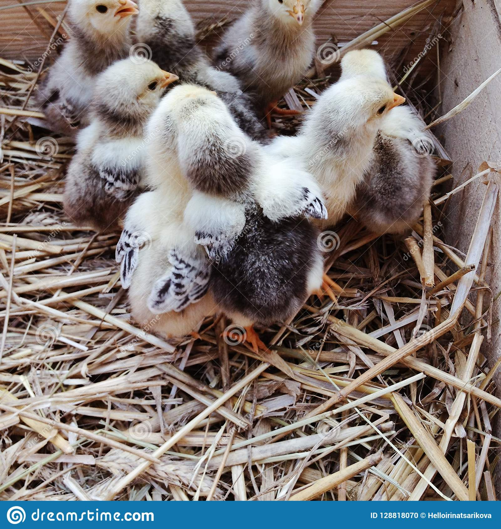 Cute newborn chicks in a wooden box