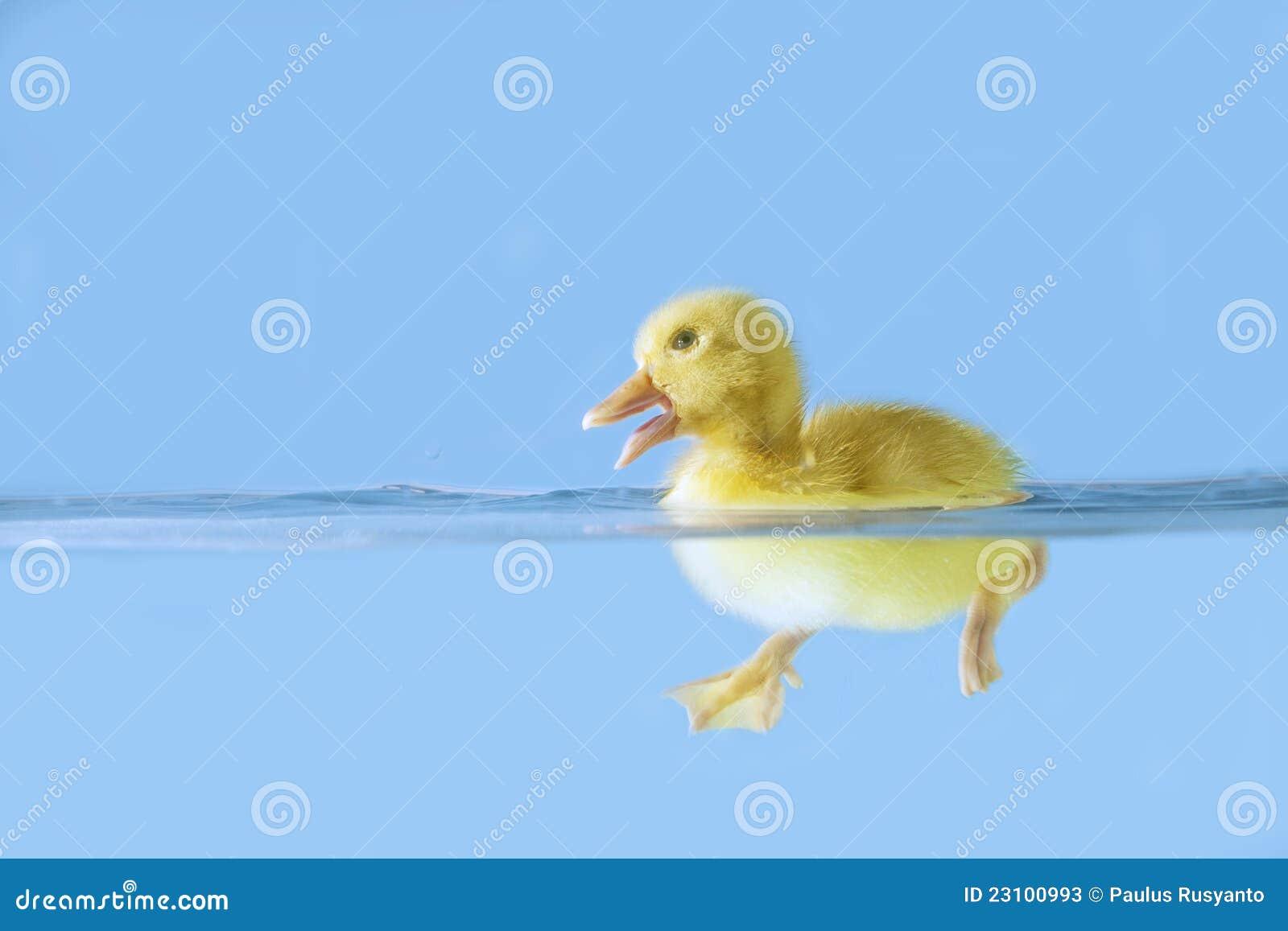 Cute duck swiming on water