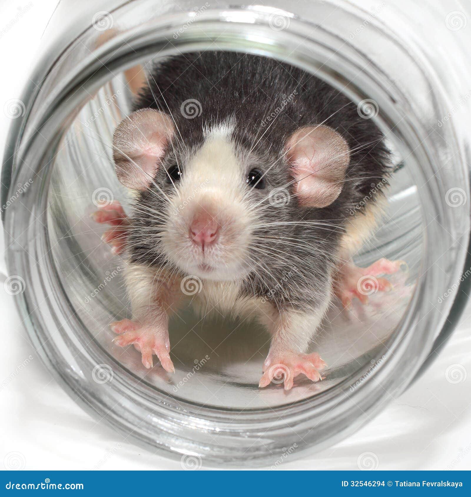 Cute dumbo rat