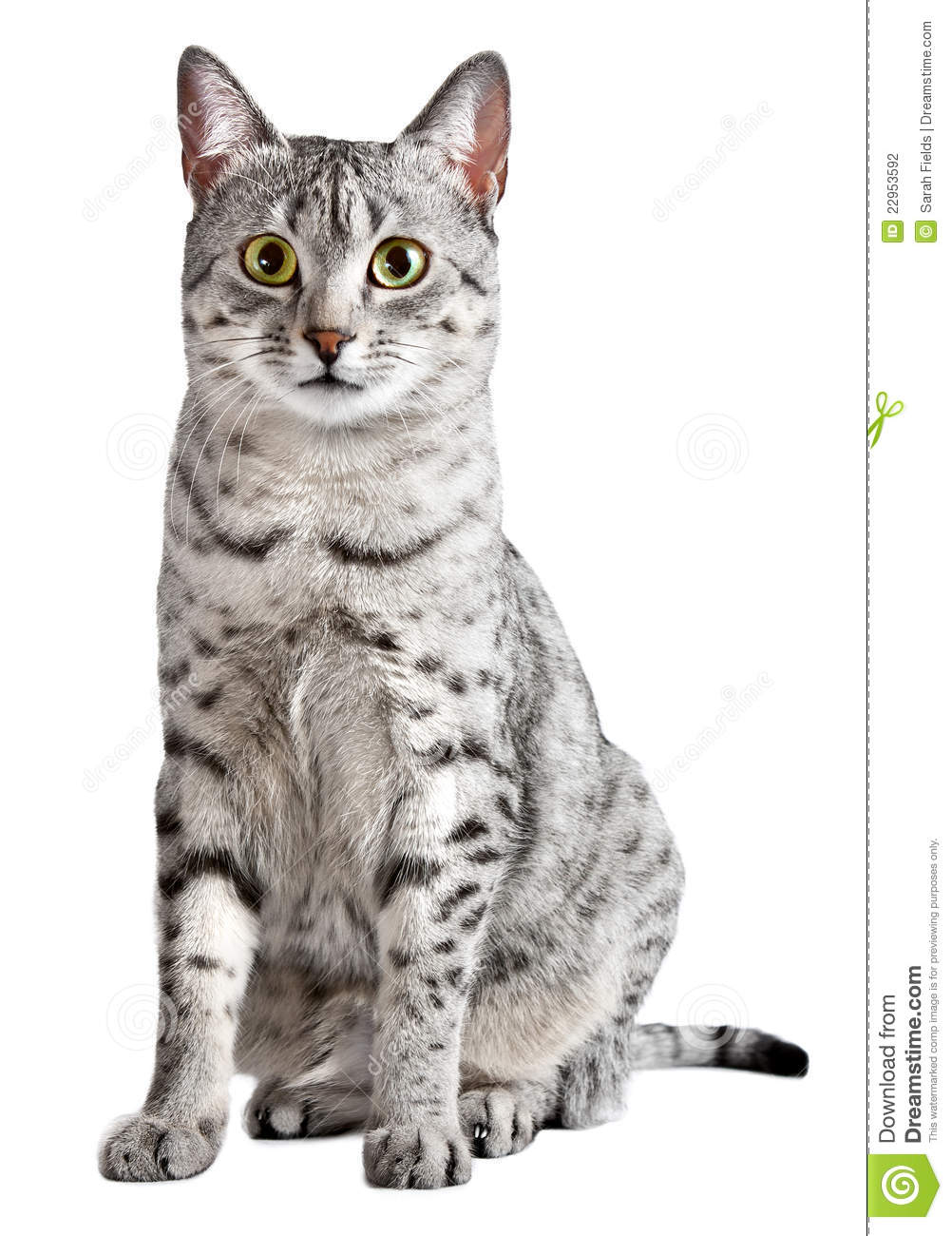 Cute egyptian mau breed cat with green eyes looking straight at the
