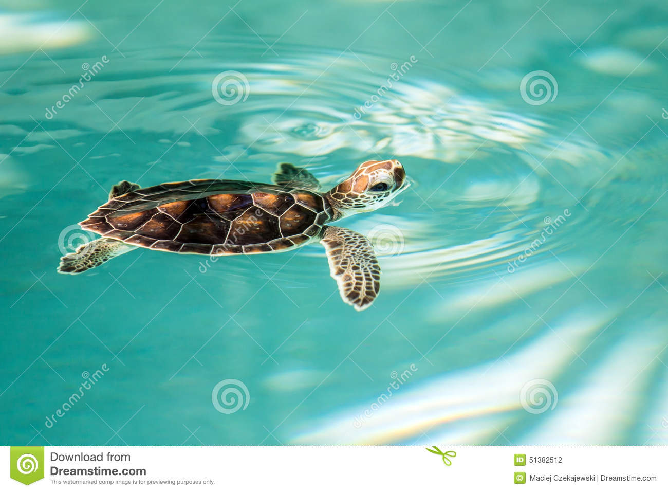 cute endangered baby turtle stock photo   image 51382512