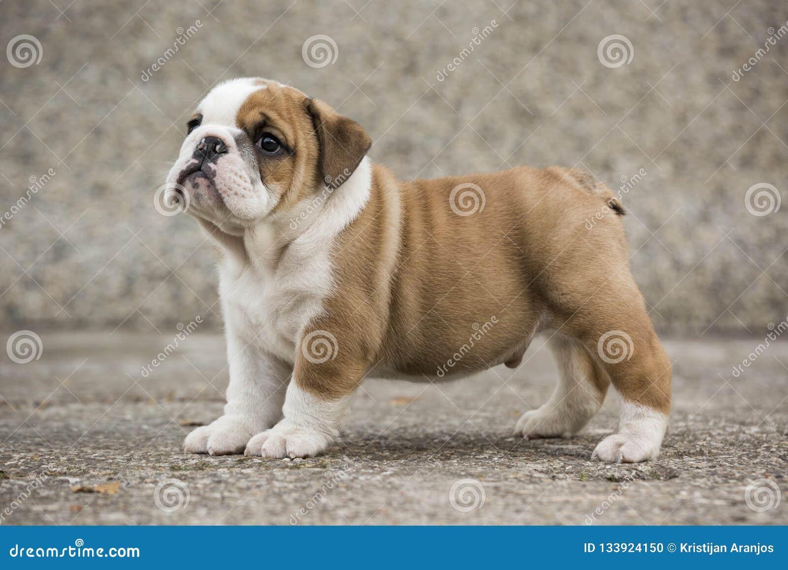 Cute English Bulldog Puppies Backyard Stock Photo Image Of Bulldogs Paws 133924150