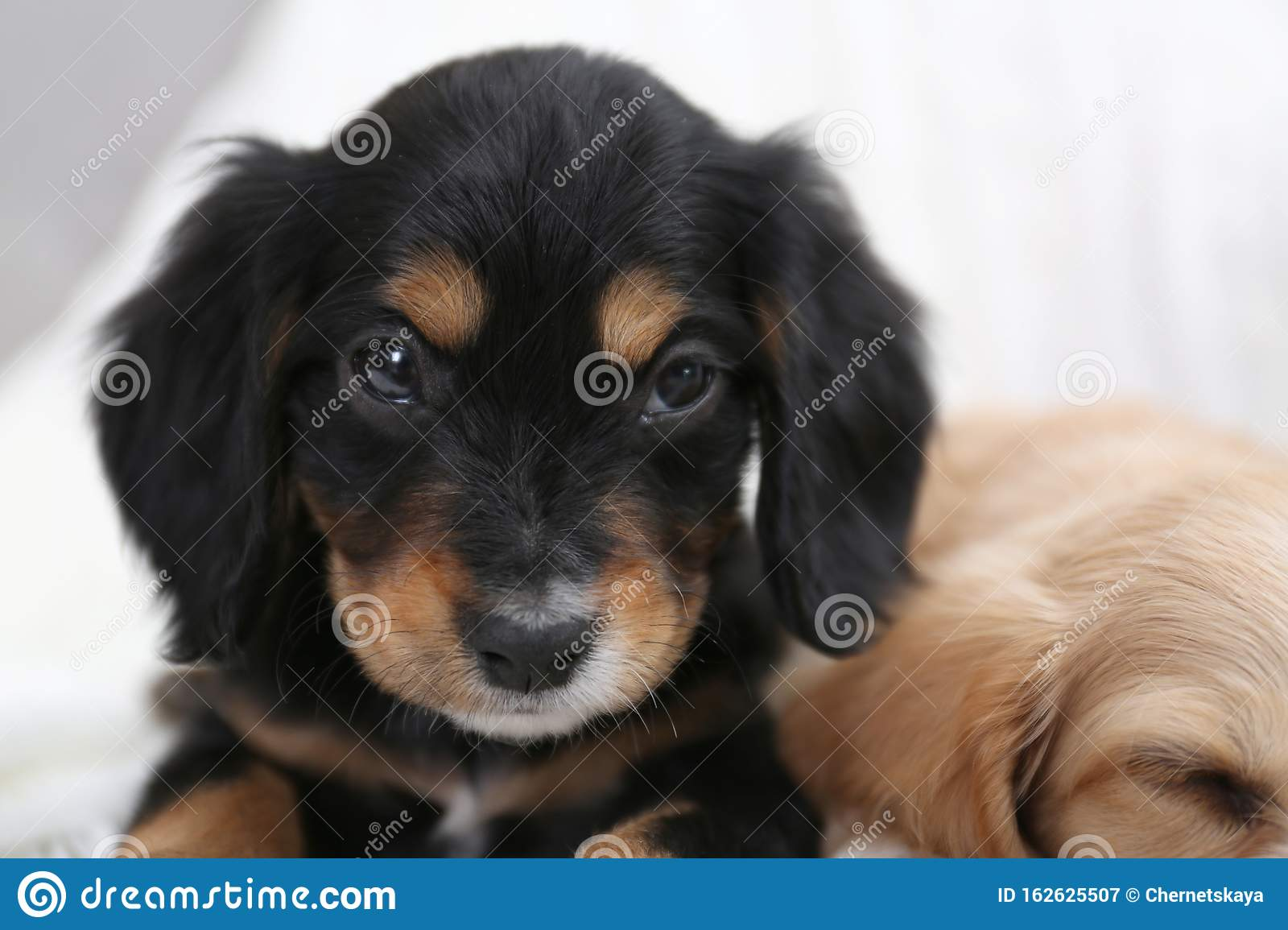 Cute English Cocker Spaniel Puppies On Background Closeup Stock Image Image Of Beautiful Beige 162625507