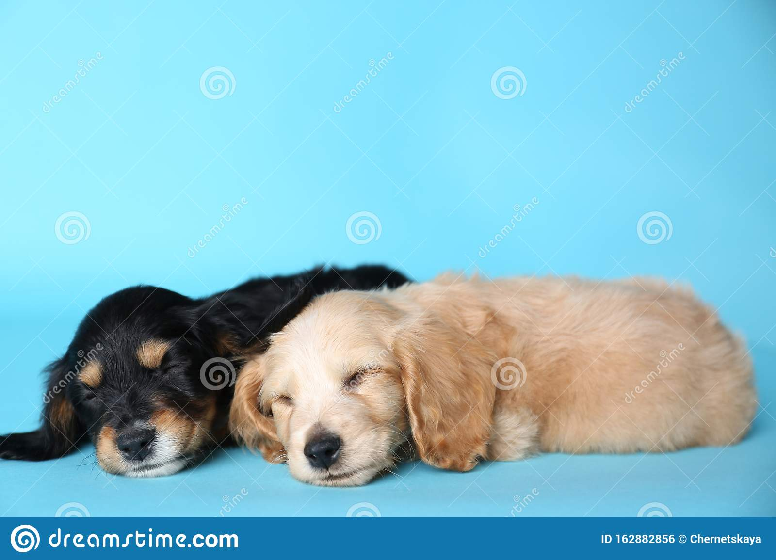 Cute English Cocker Spaniel Puppies Sleeping On Light Background Stock Photo Image Of Little Friendly 162882856