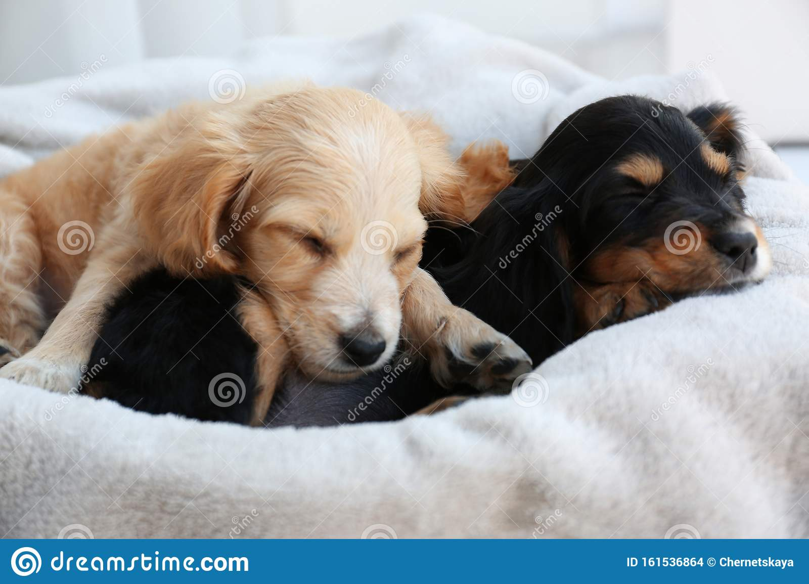 Cute English Cocker Spaniel Puppies Sleeping Stock Photo Image Of Indoors Furry 161536864