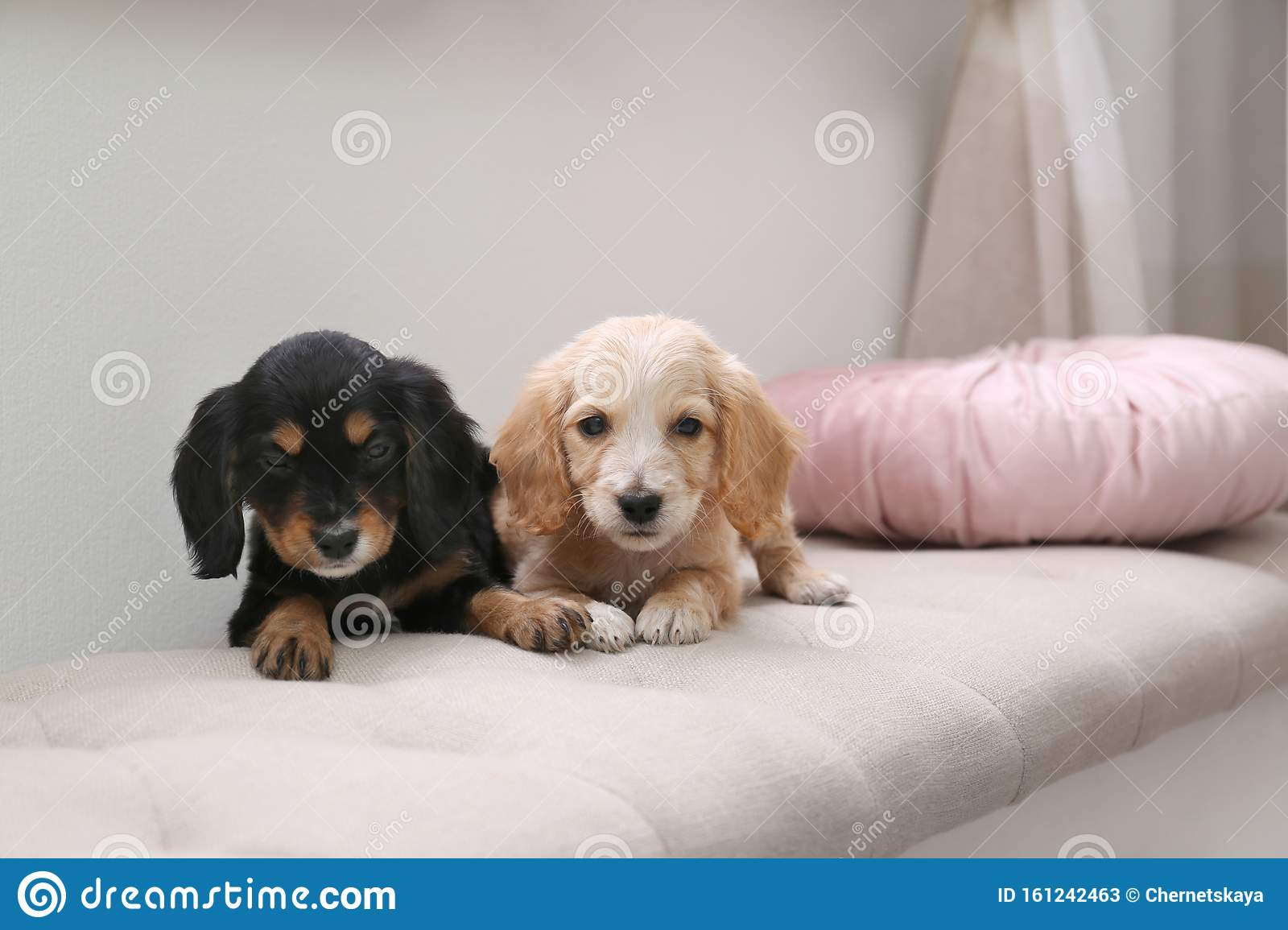 Cute English Cocker Spaniel Puppies On Sofa Stock Image Image Of Friendly Carnivore 161242463