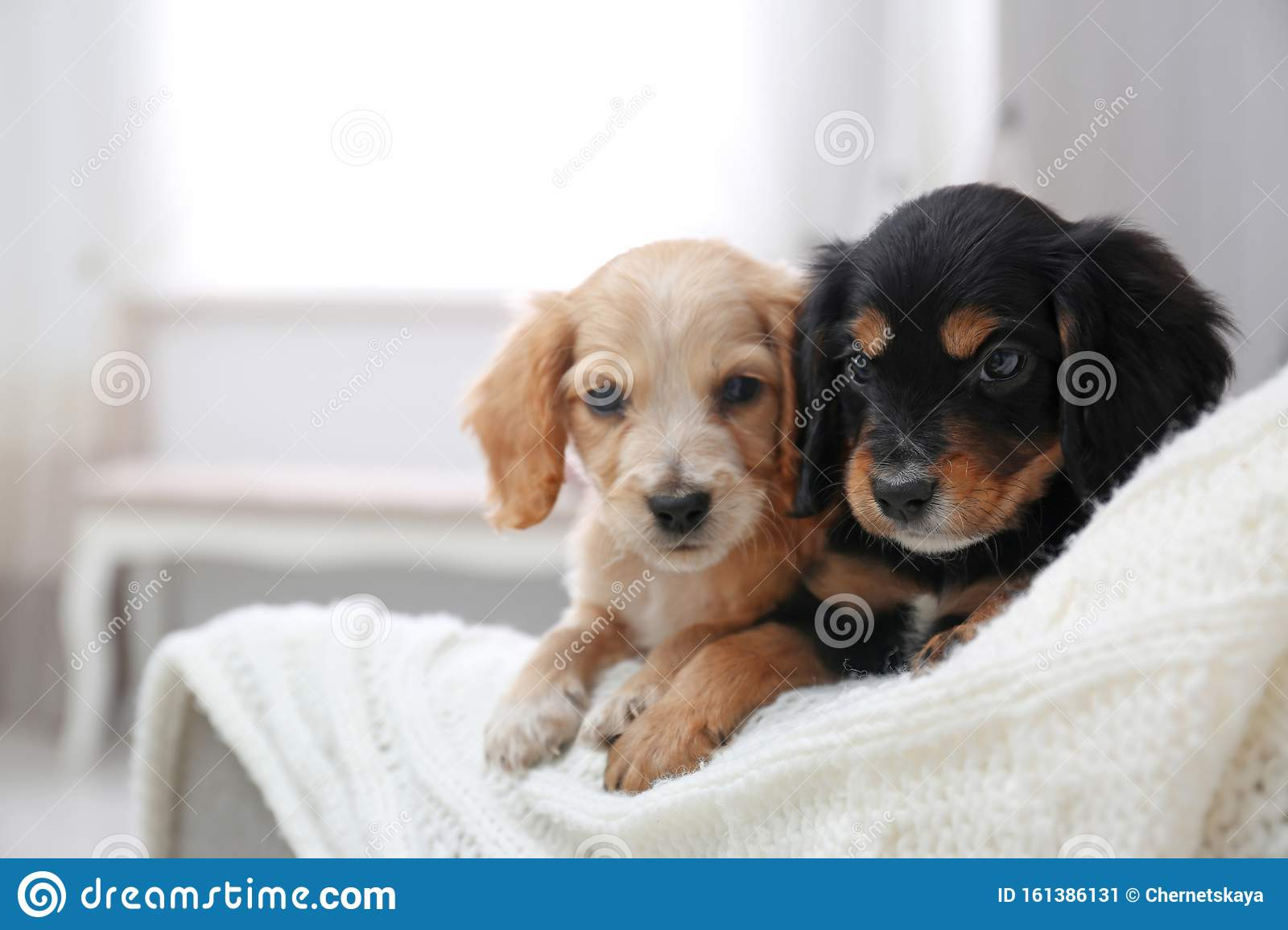Cute English Cocker Spaniel Puppies On Sofa Space For Text Stock Image Image Of Carnivore Companion 161386131