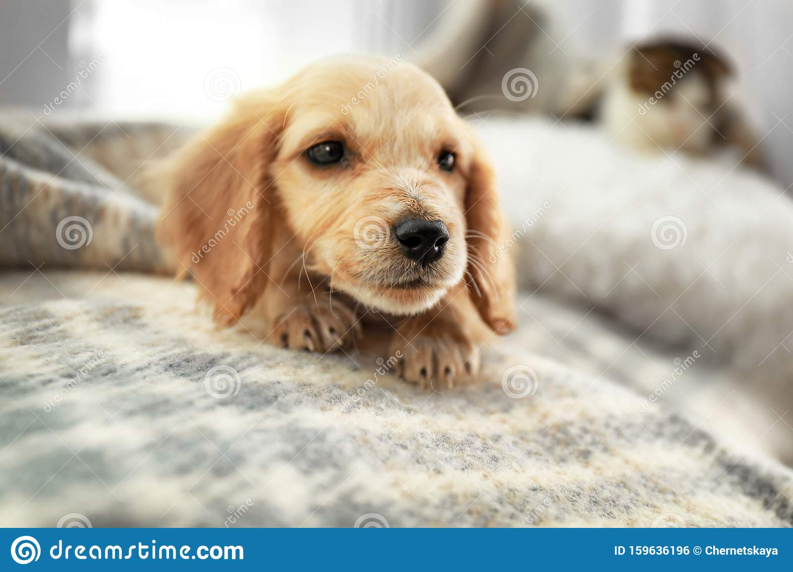Cute English Cocker Spaniel Puppy On Blanket Stock Photo Image Of Background Indoors 159636196